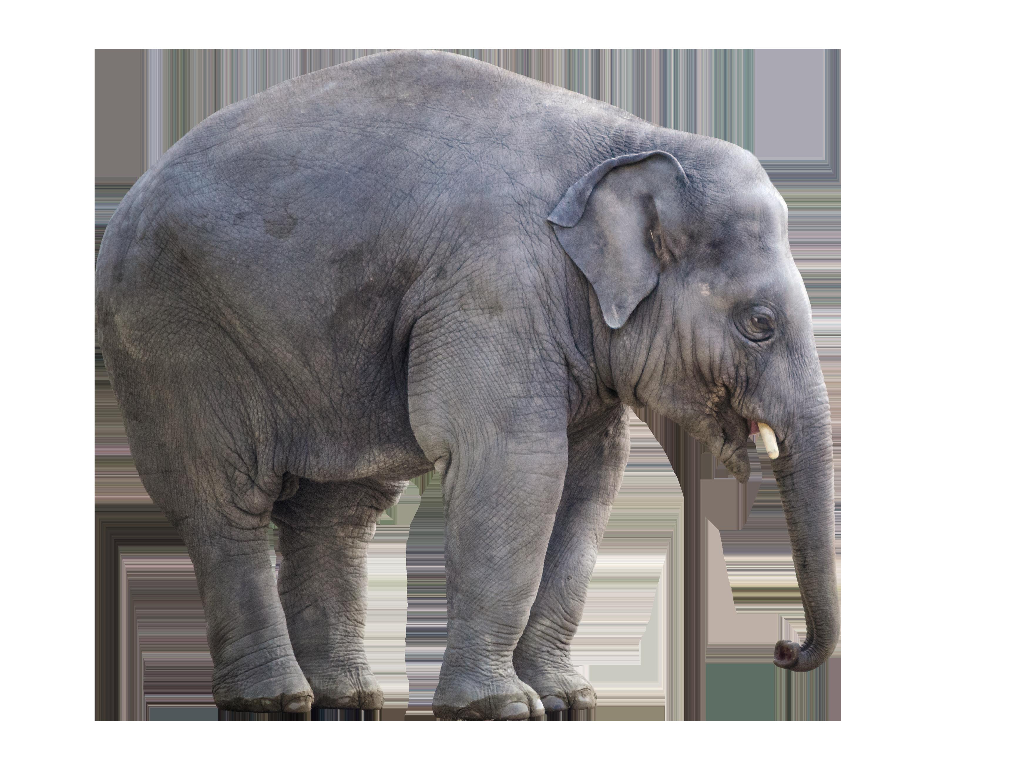Big Elephant PNG