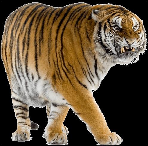 Yelllow Tiger Walking PNG Image - PurePNG | Free ...