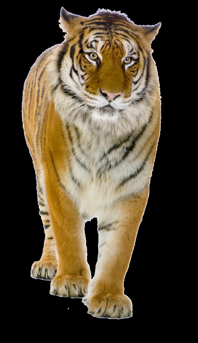 Yellow Tiger Walking PNG Image