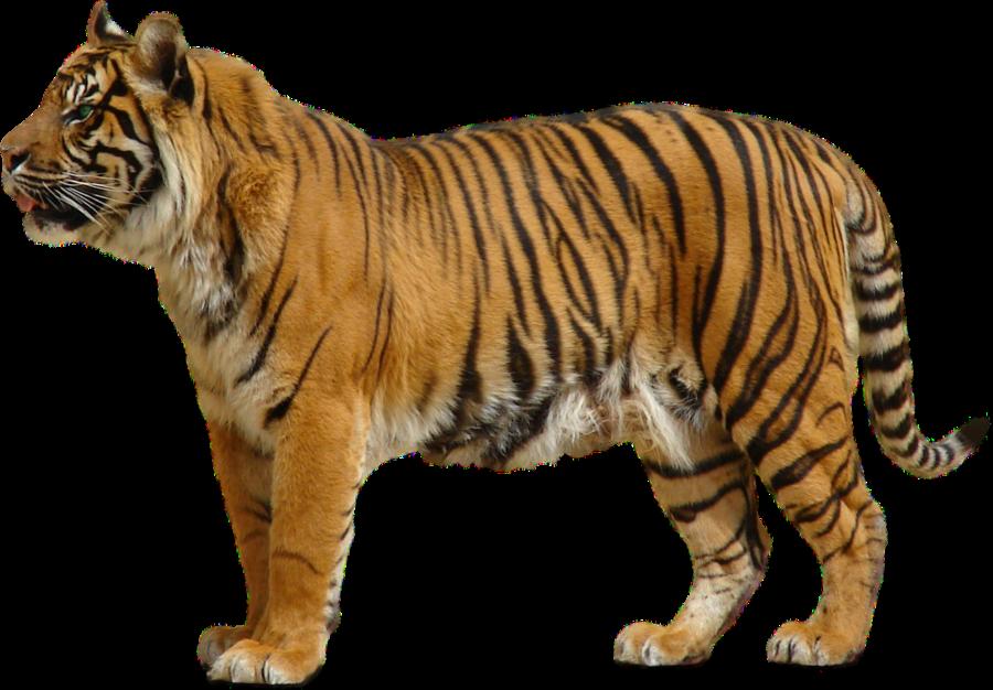 Yellow Tiger PNG Image