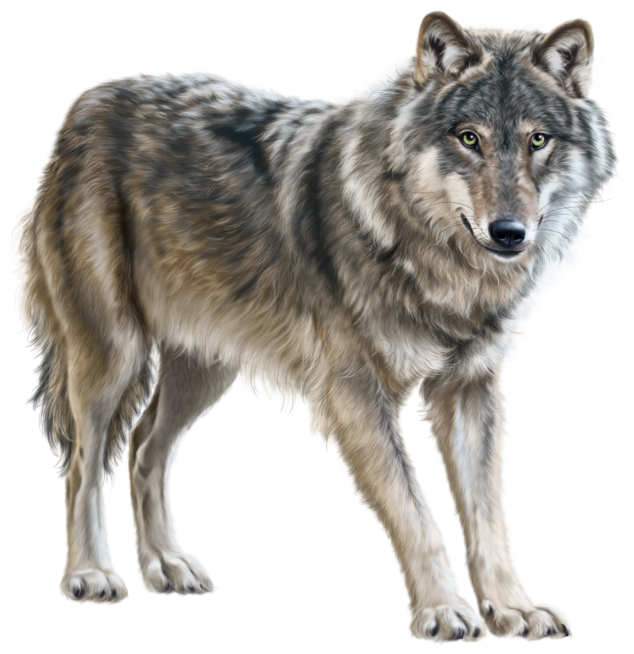 Young Wolf Standing