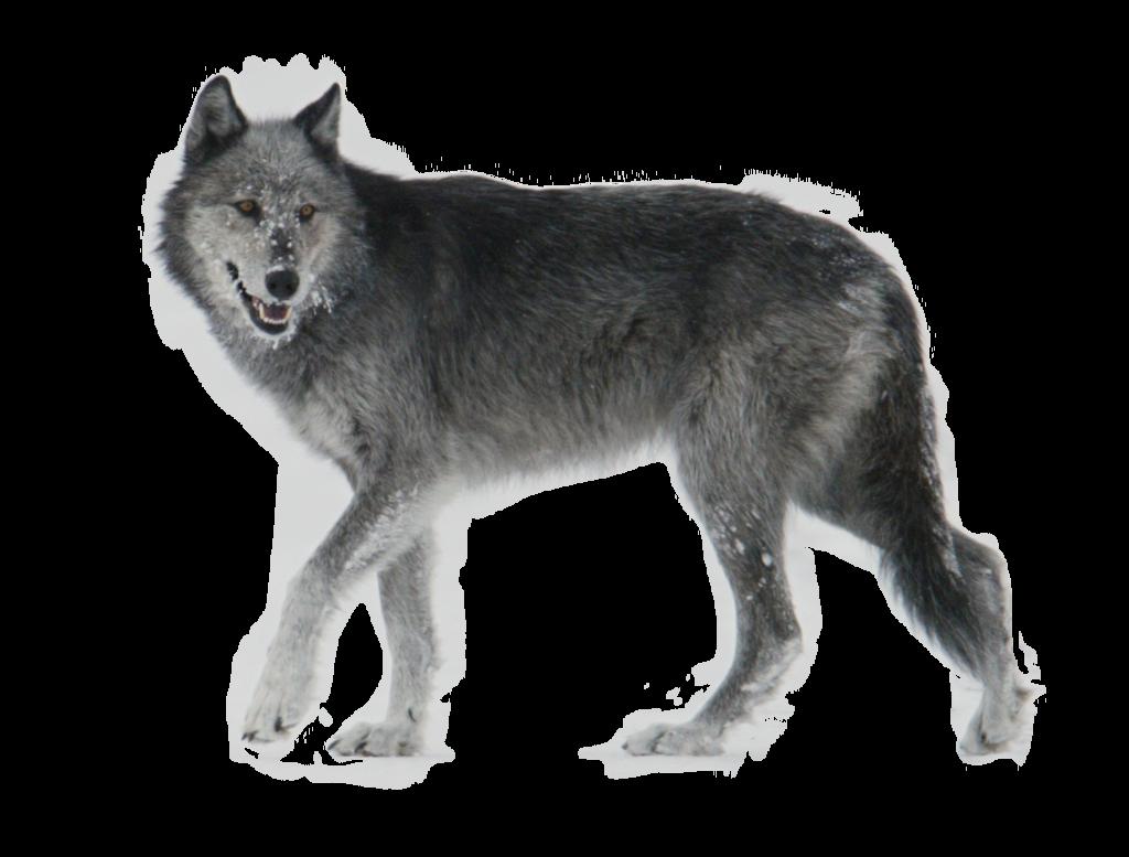 Wolf Walking Side Ways PNG Image - PurePNG | Free ...