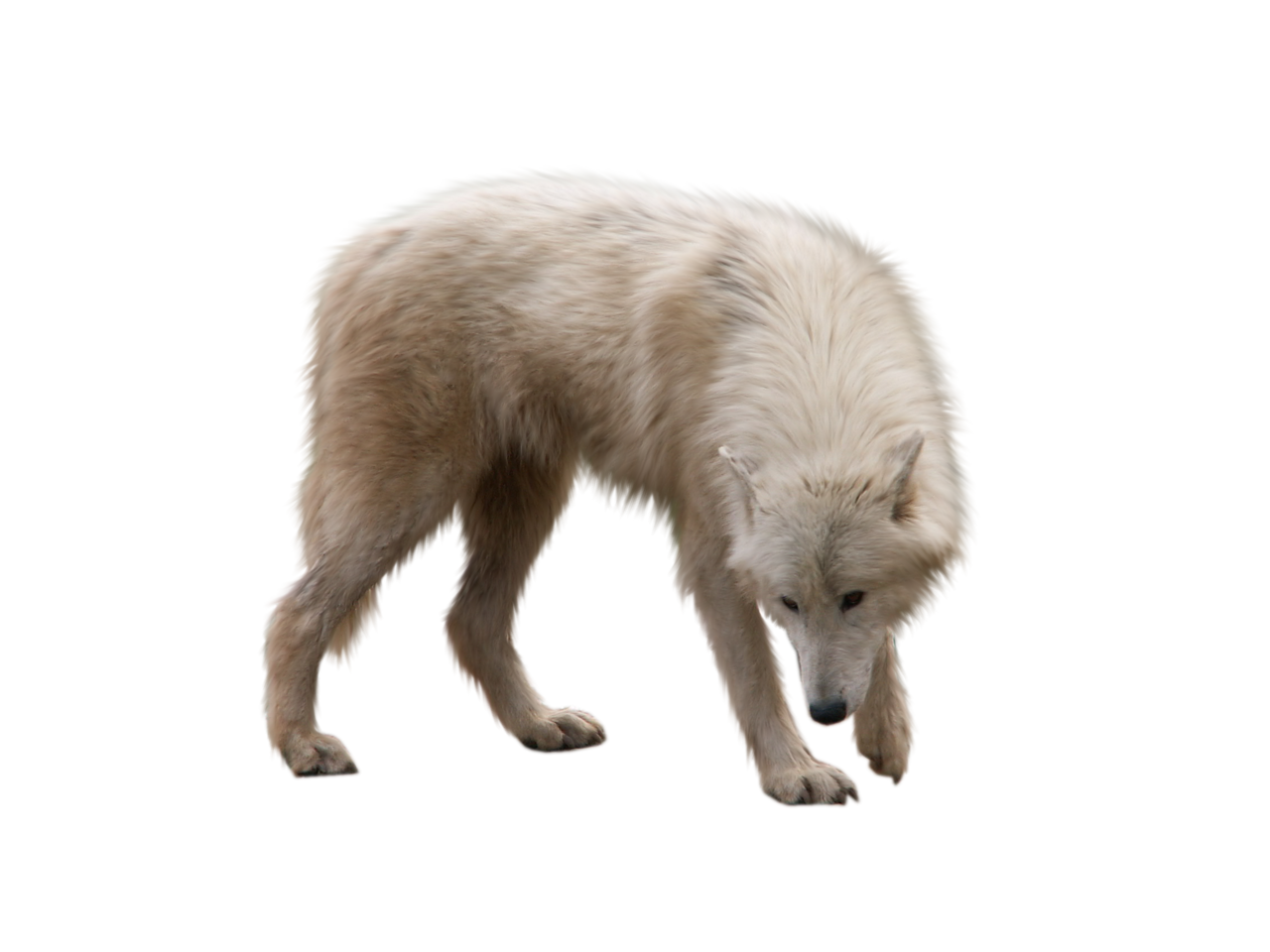 Cute Wolf Looking On The Ground