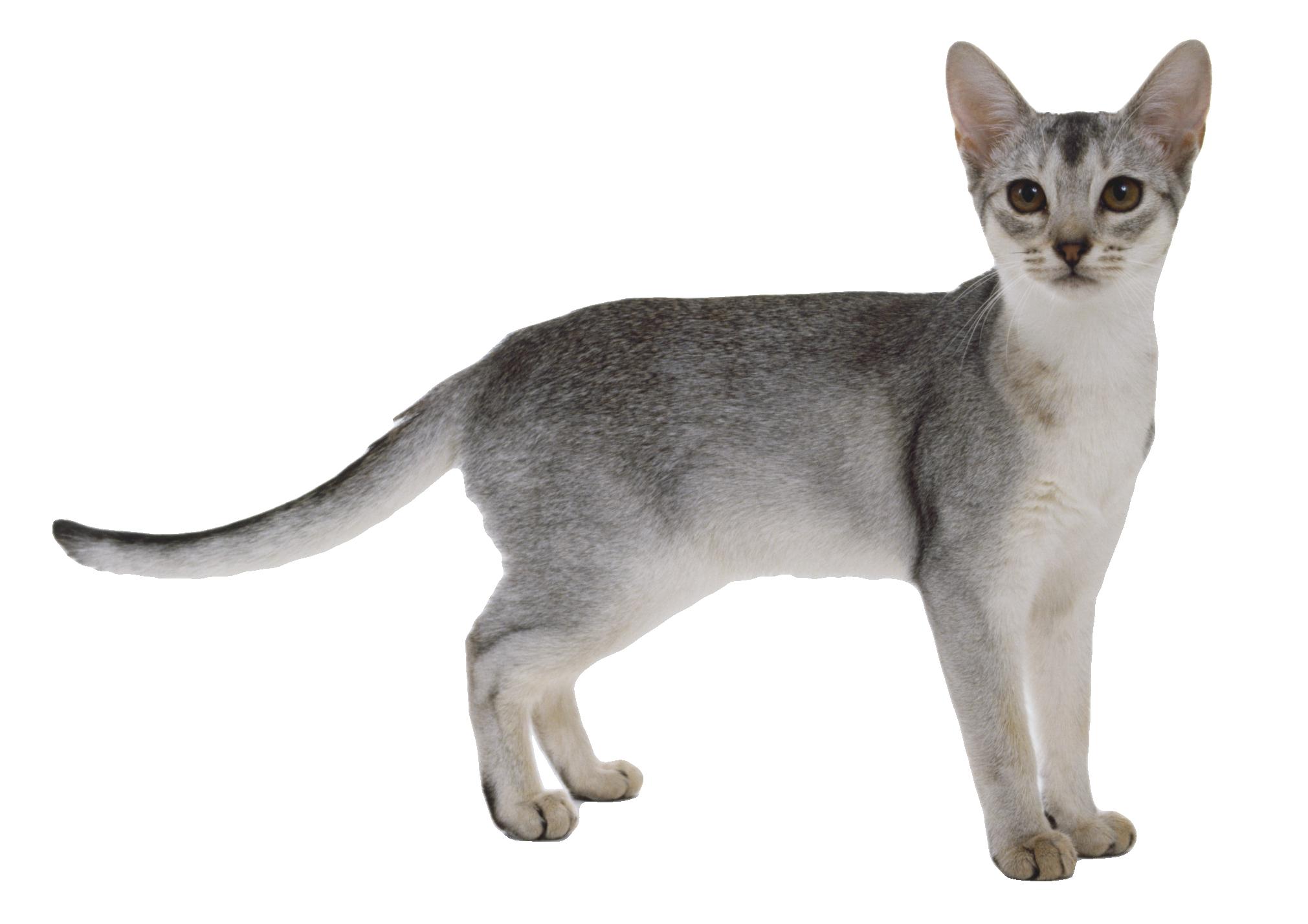 Cat Transparent PNG PNG Image