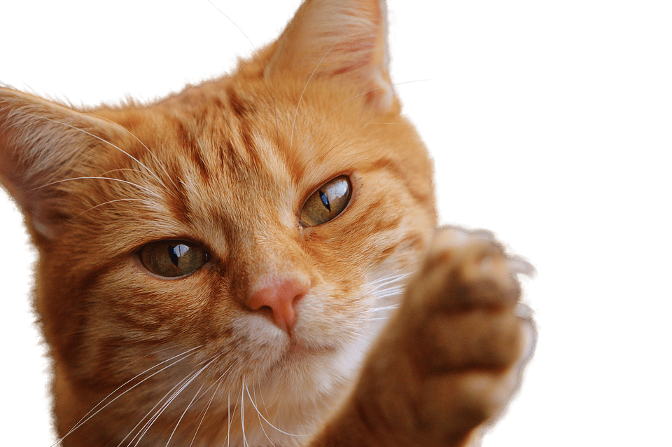 Cat Close Up PNG