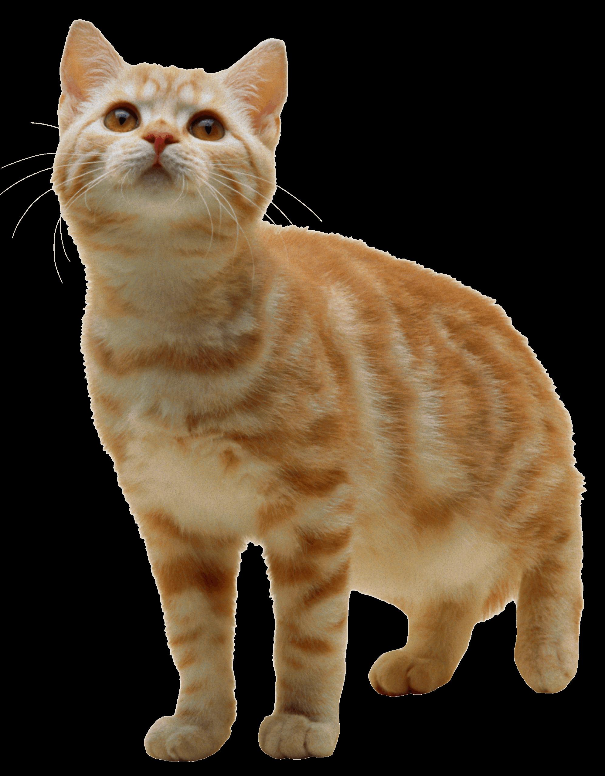 Sweet Cat Kitten PNG PNG Image