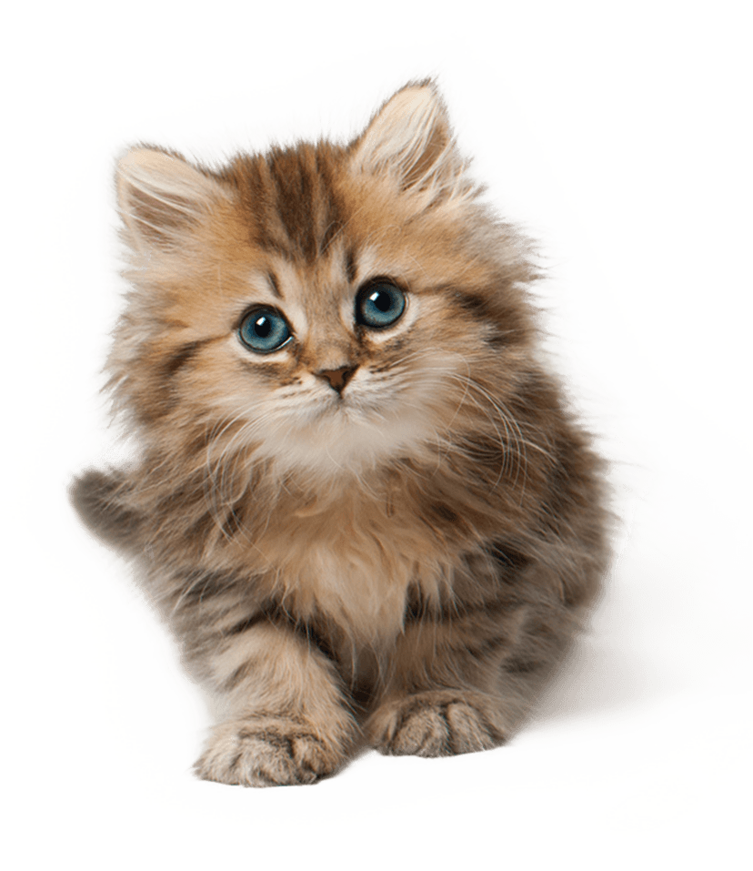 Cute Cat Kitten PNG