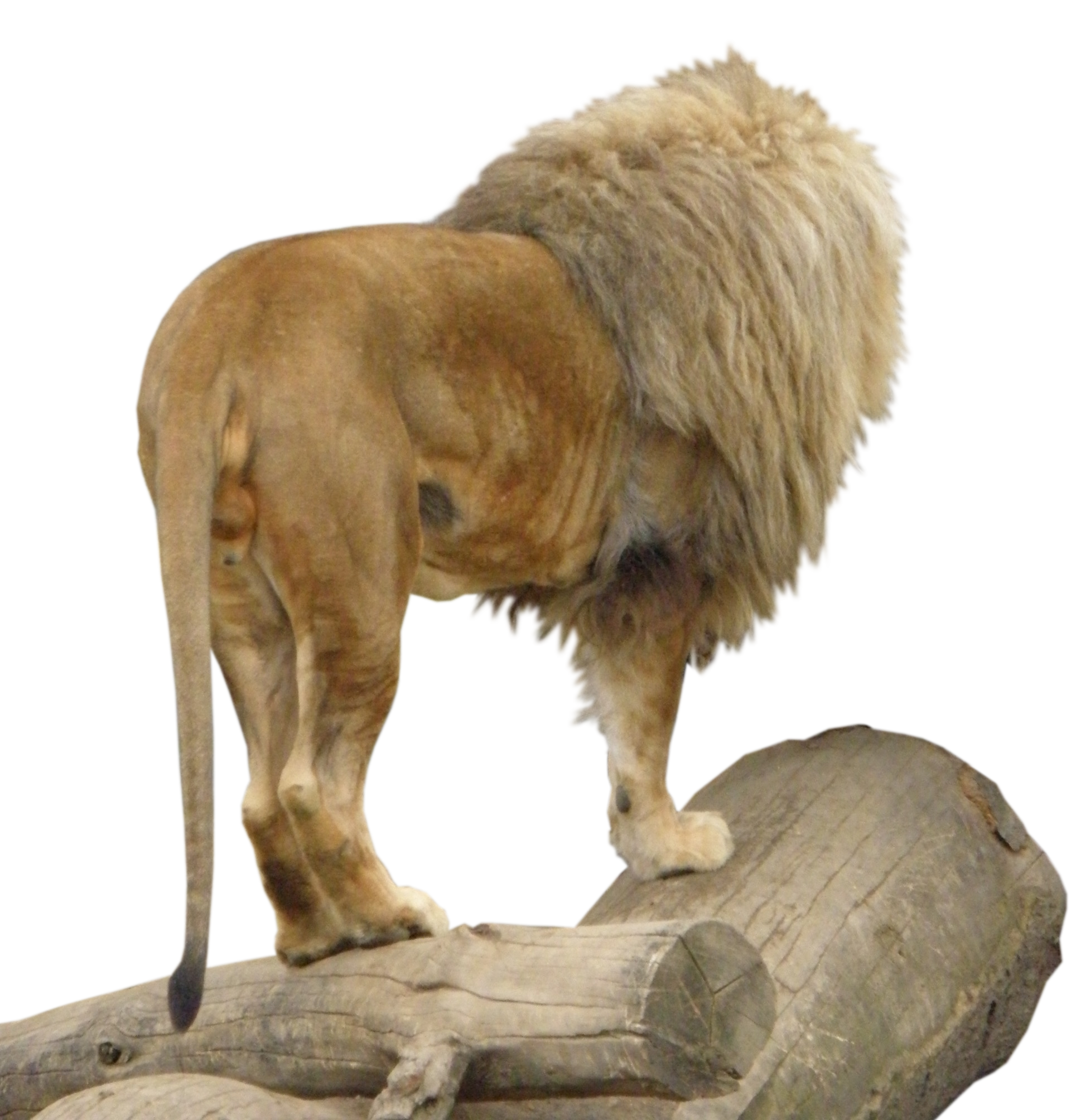 Lion Animal PNG Image