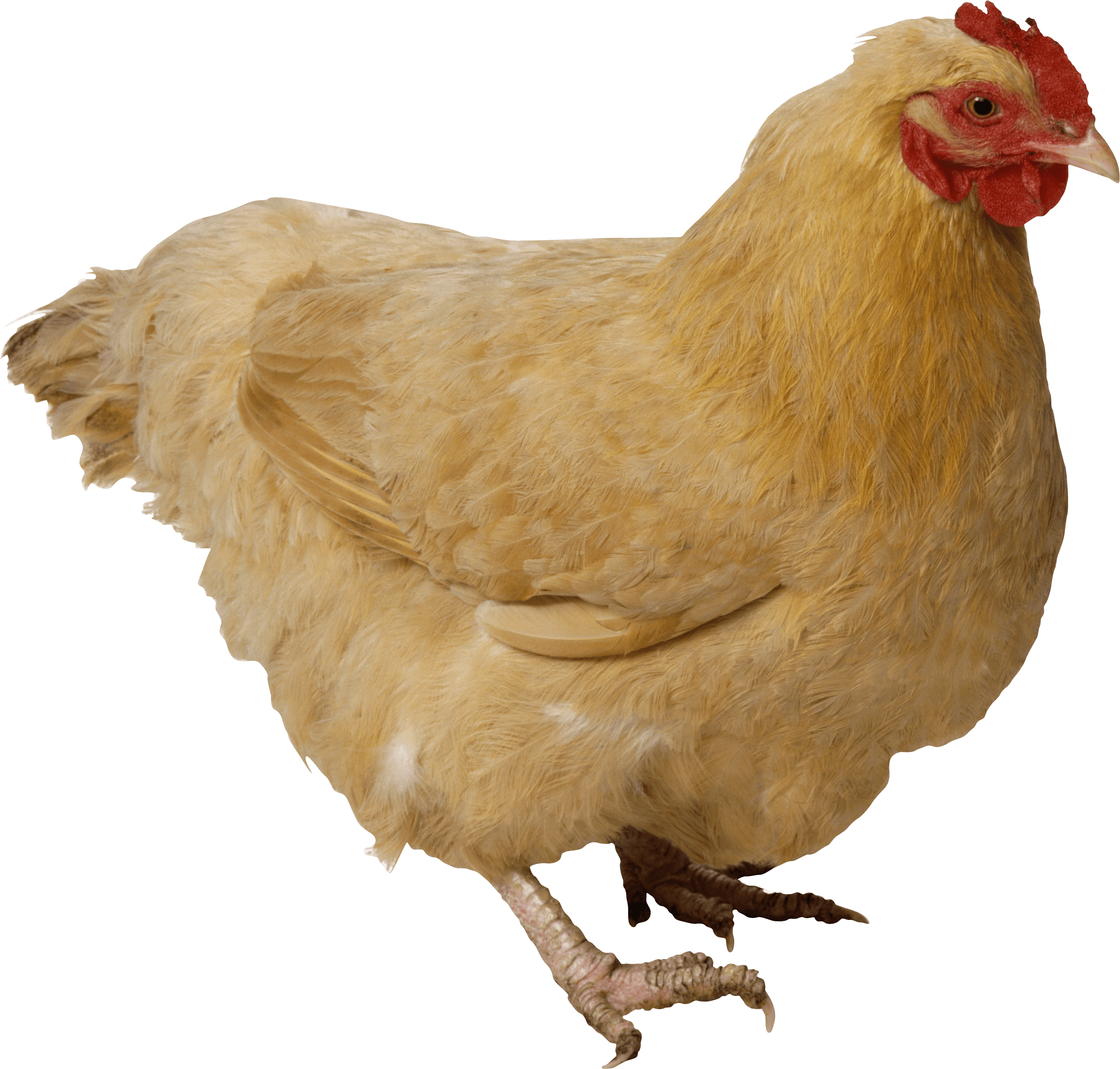 Fat yellow chicken PNG Image