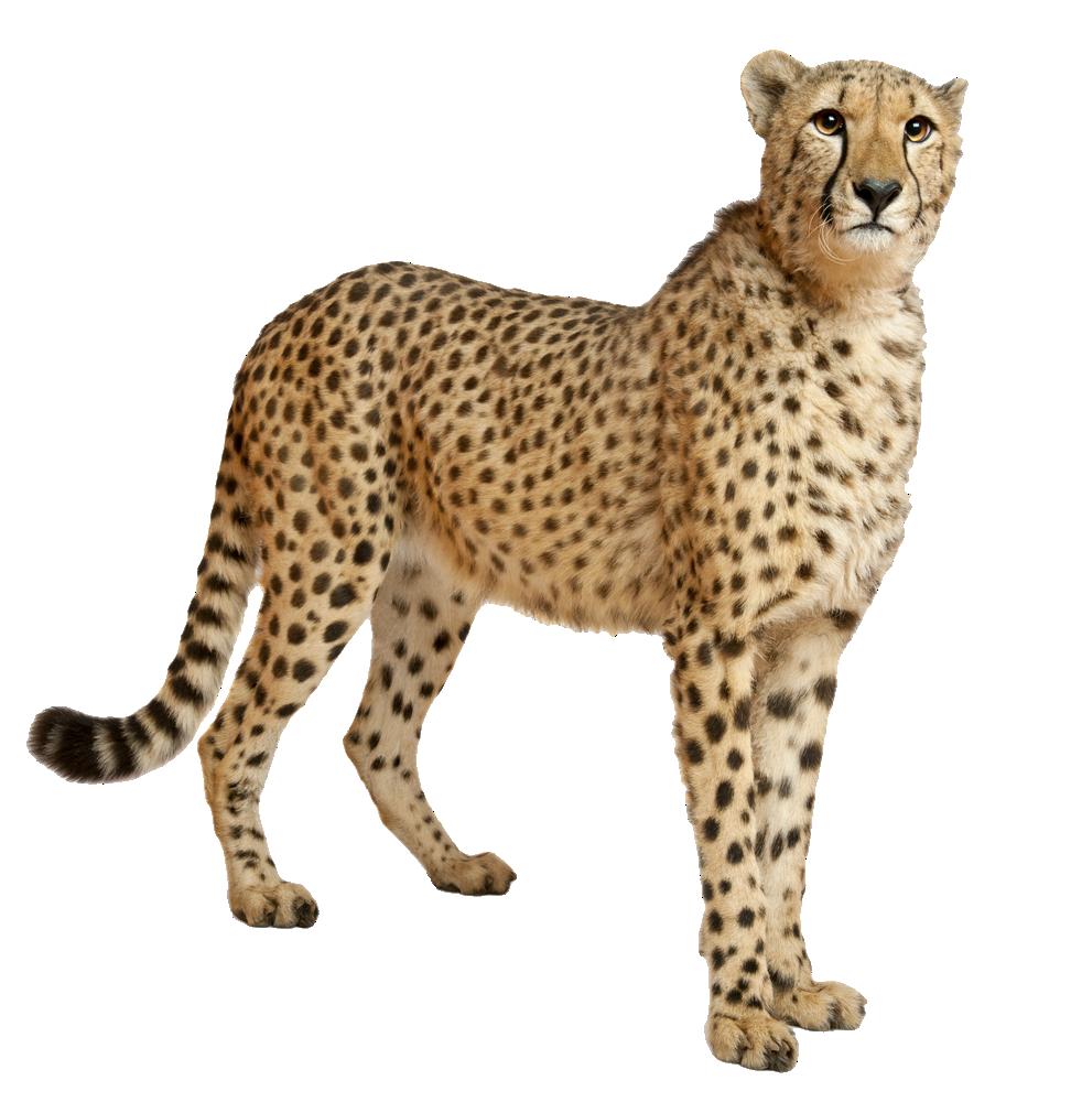 Cute Cheetah PNG Image