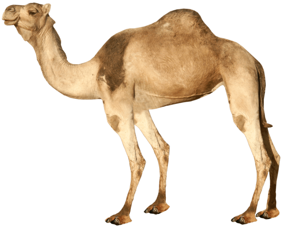 Camel from side