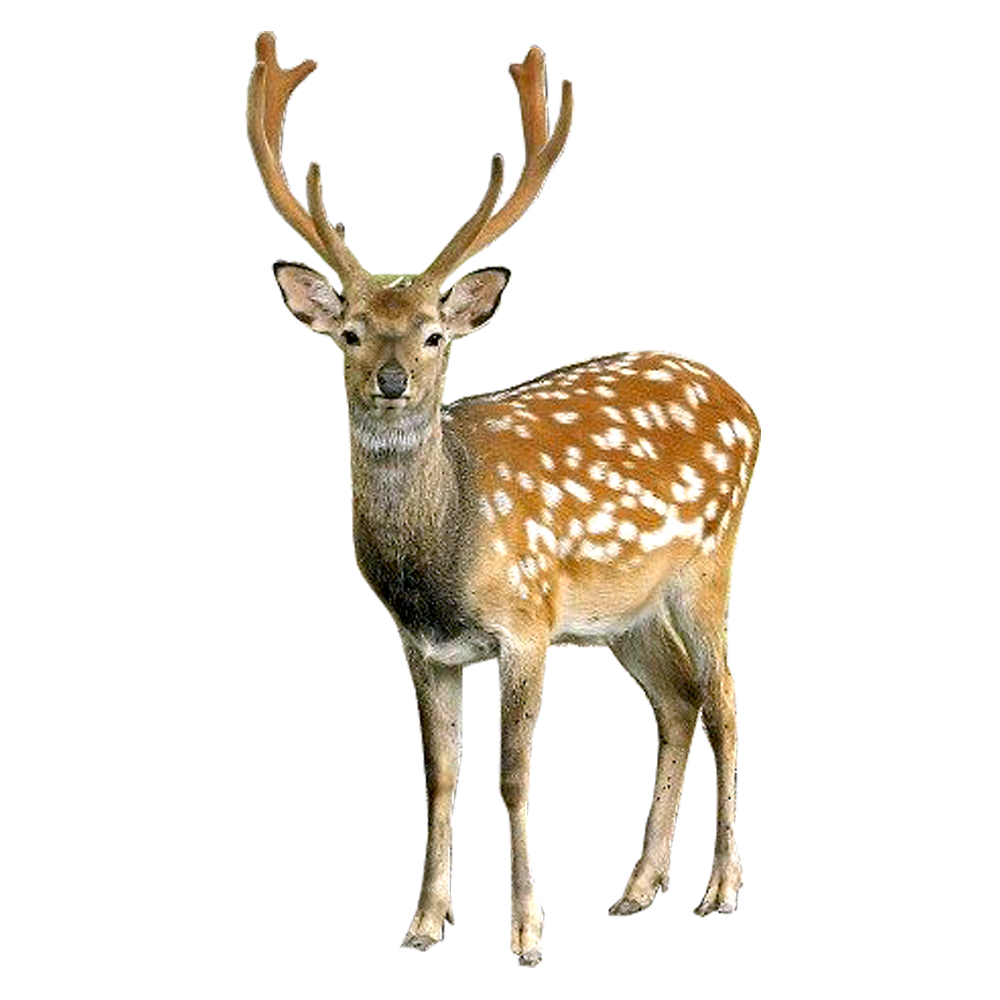 Deer looking into Camera PNG Image