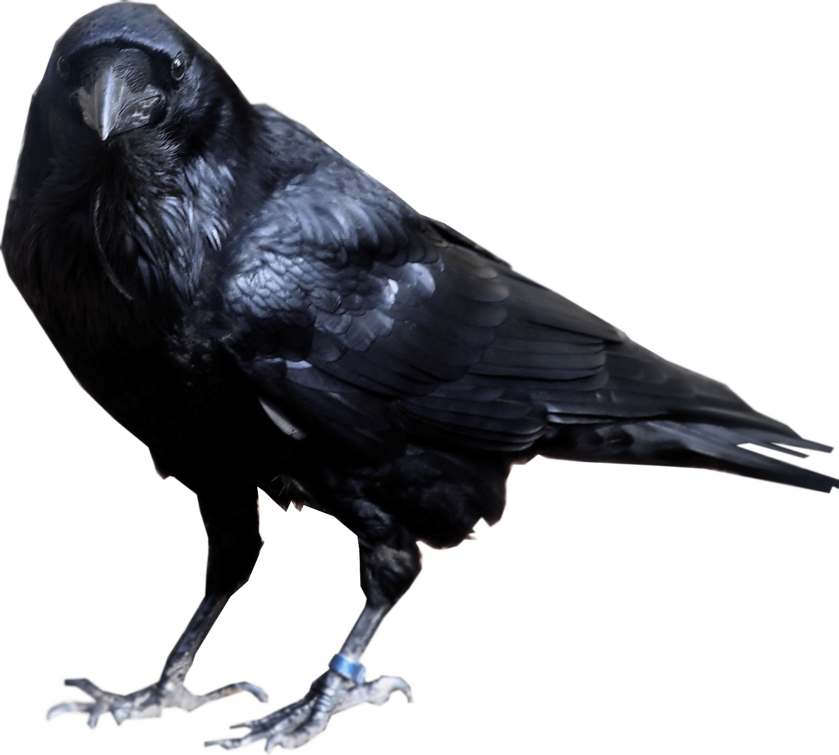 Crow looking into camera PNG Image