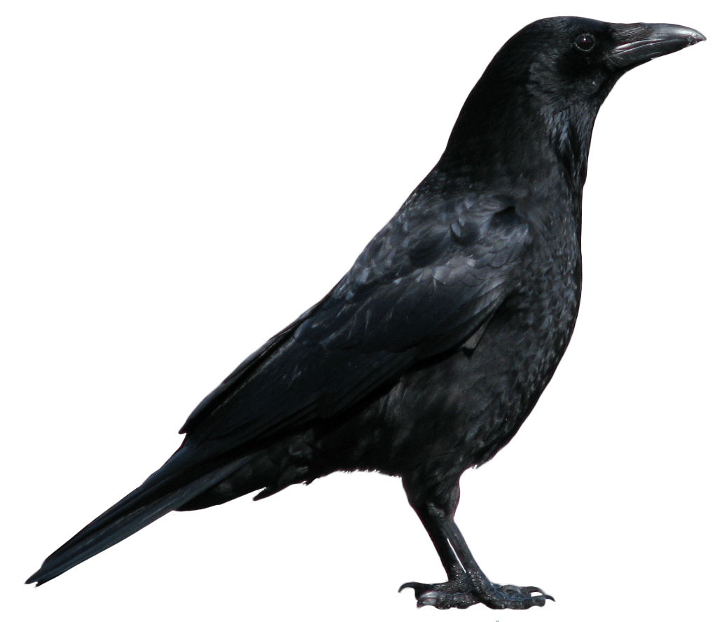 7-crow-png-image