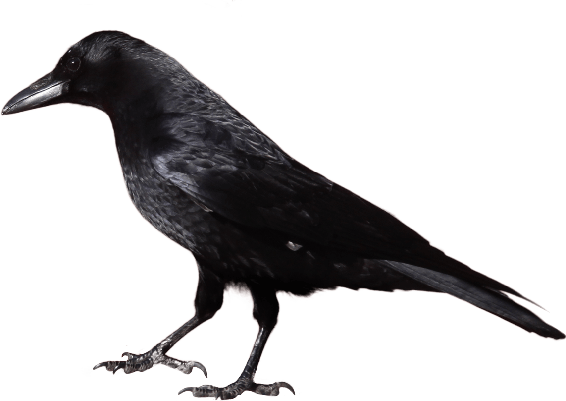 Crow from Side PNG Image