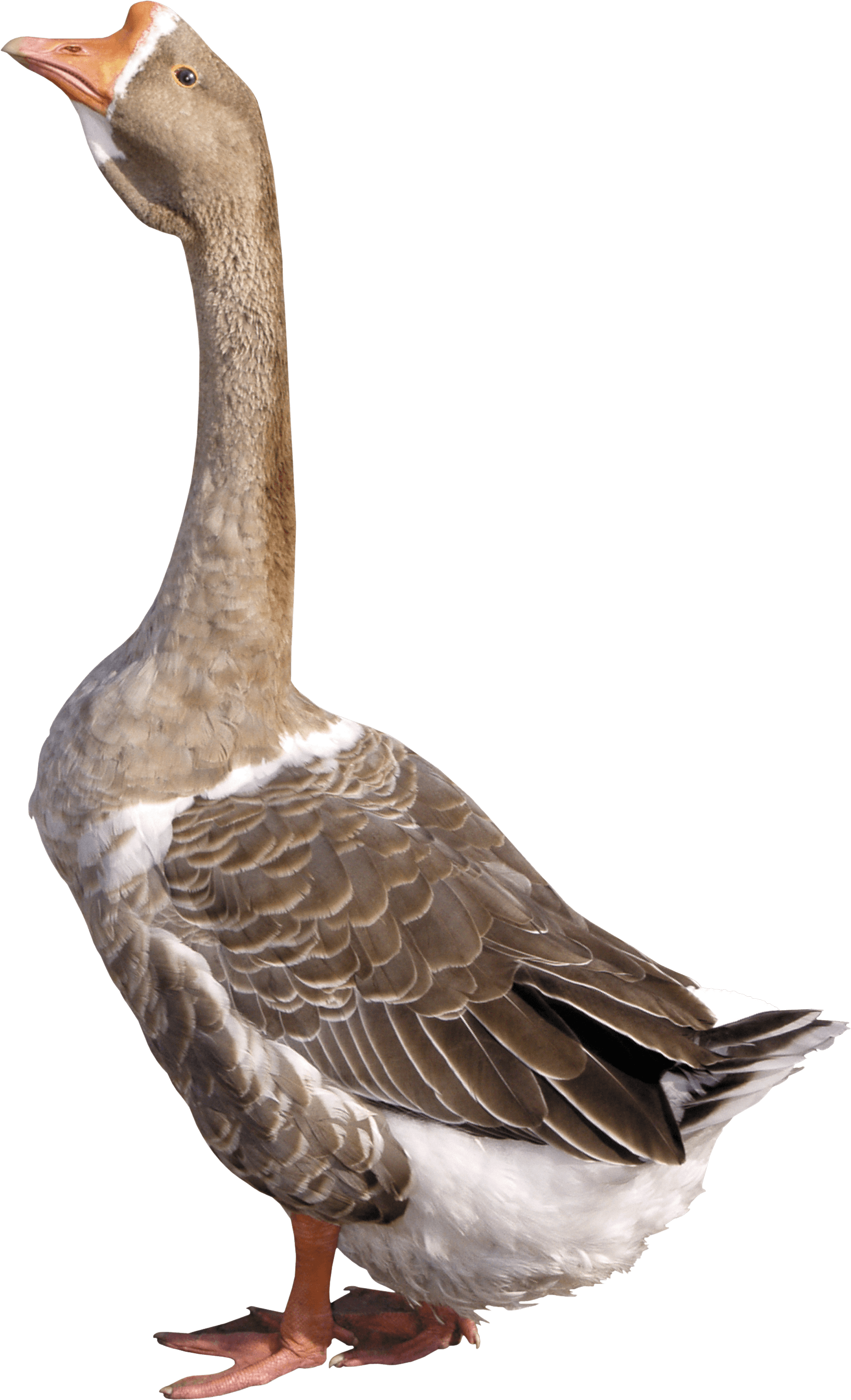 grey young goose