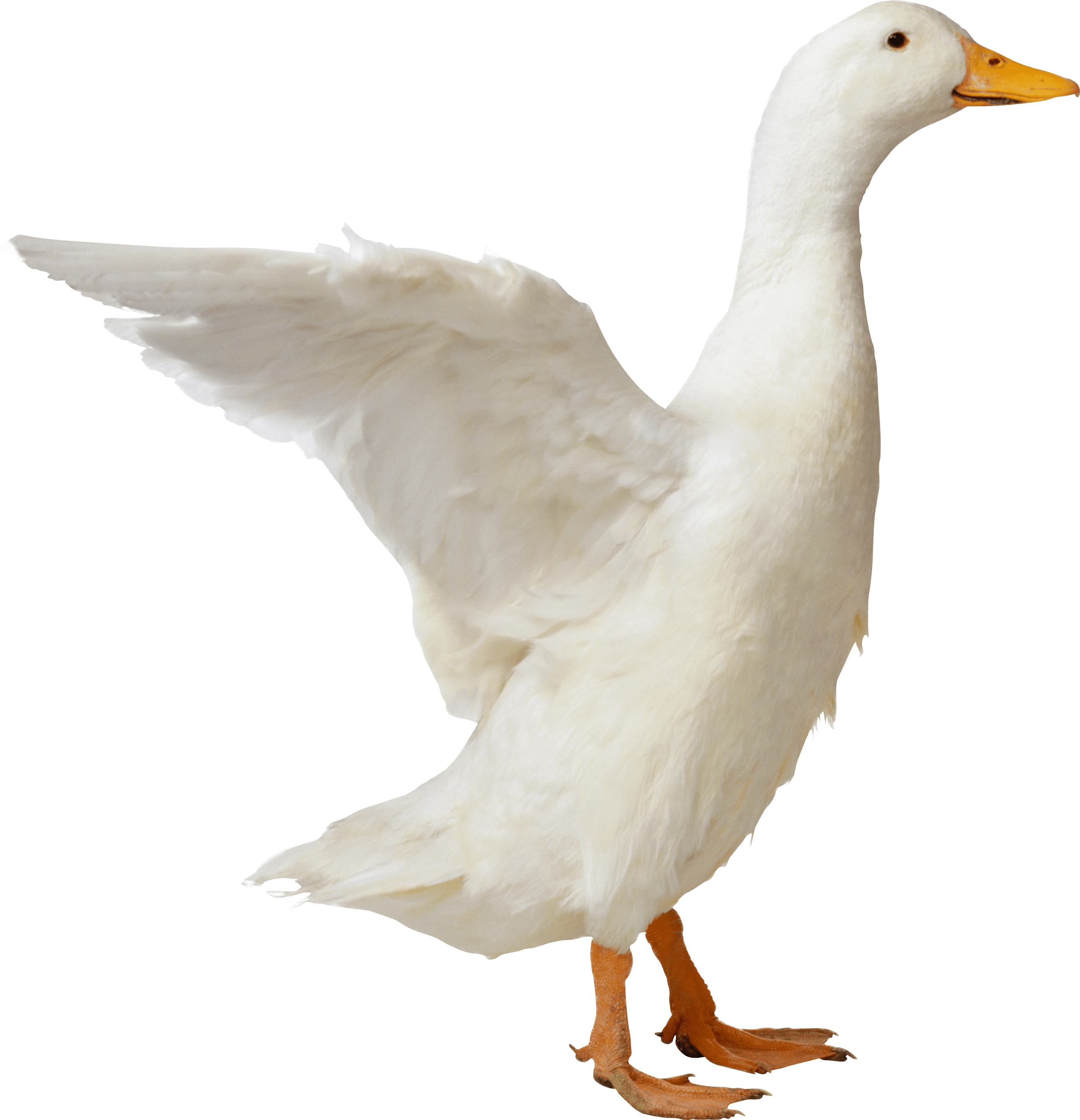white duck PNG Image