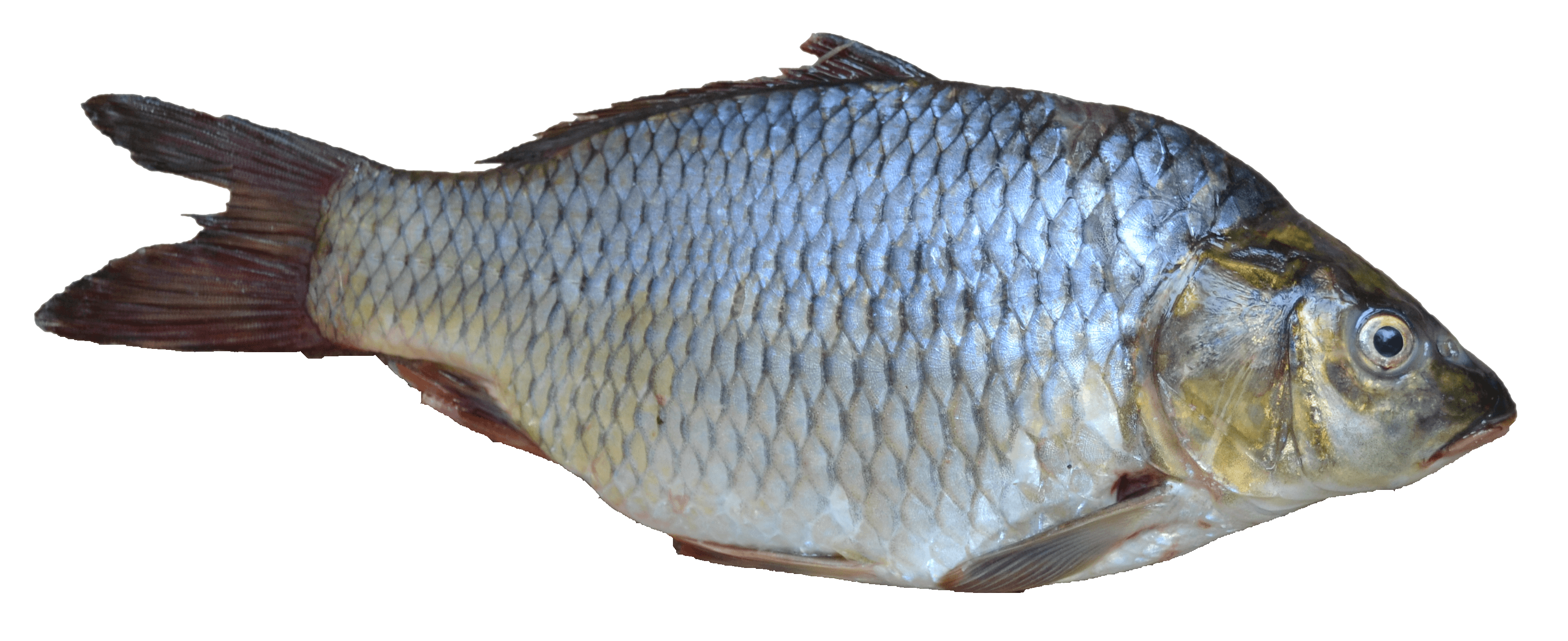Fish png image purepng free transparent cc0 png image for Fish without scales
