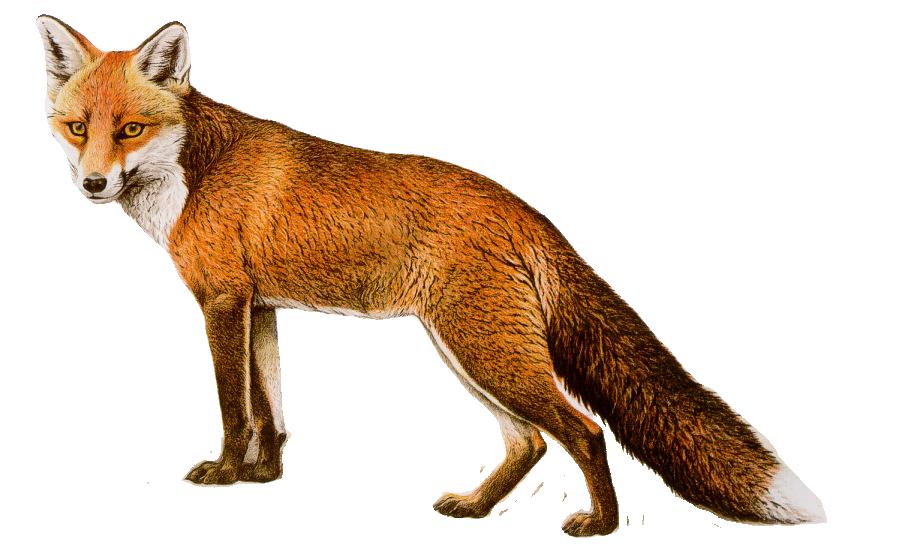 Fox drawing png image purepng free transparent cc0 png - Clipart renard ...