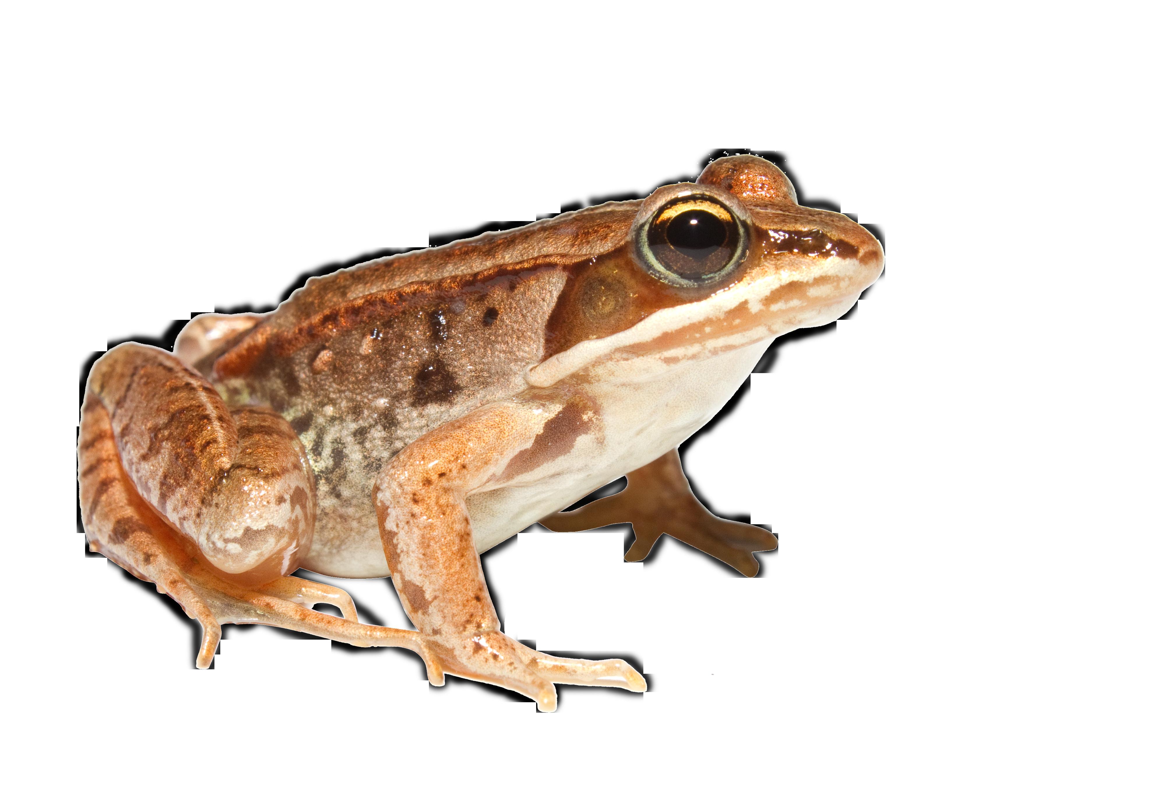 orange Toad PNG Image