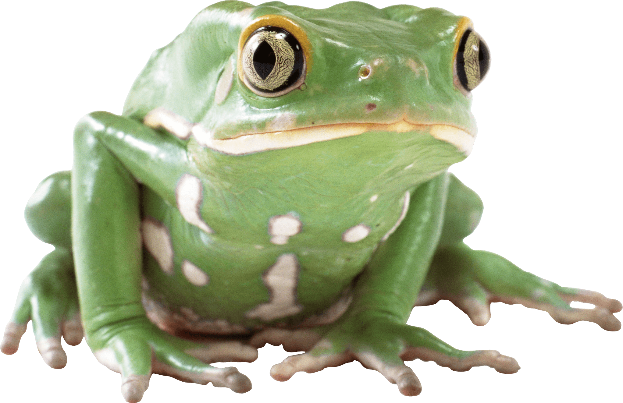 green toad PNG Image