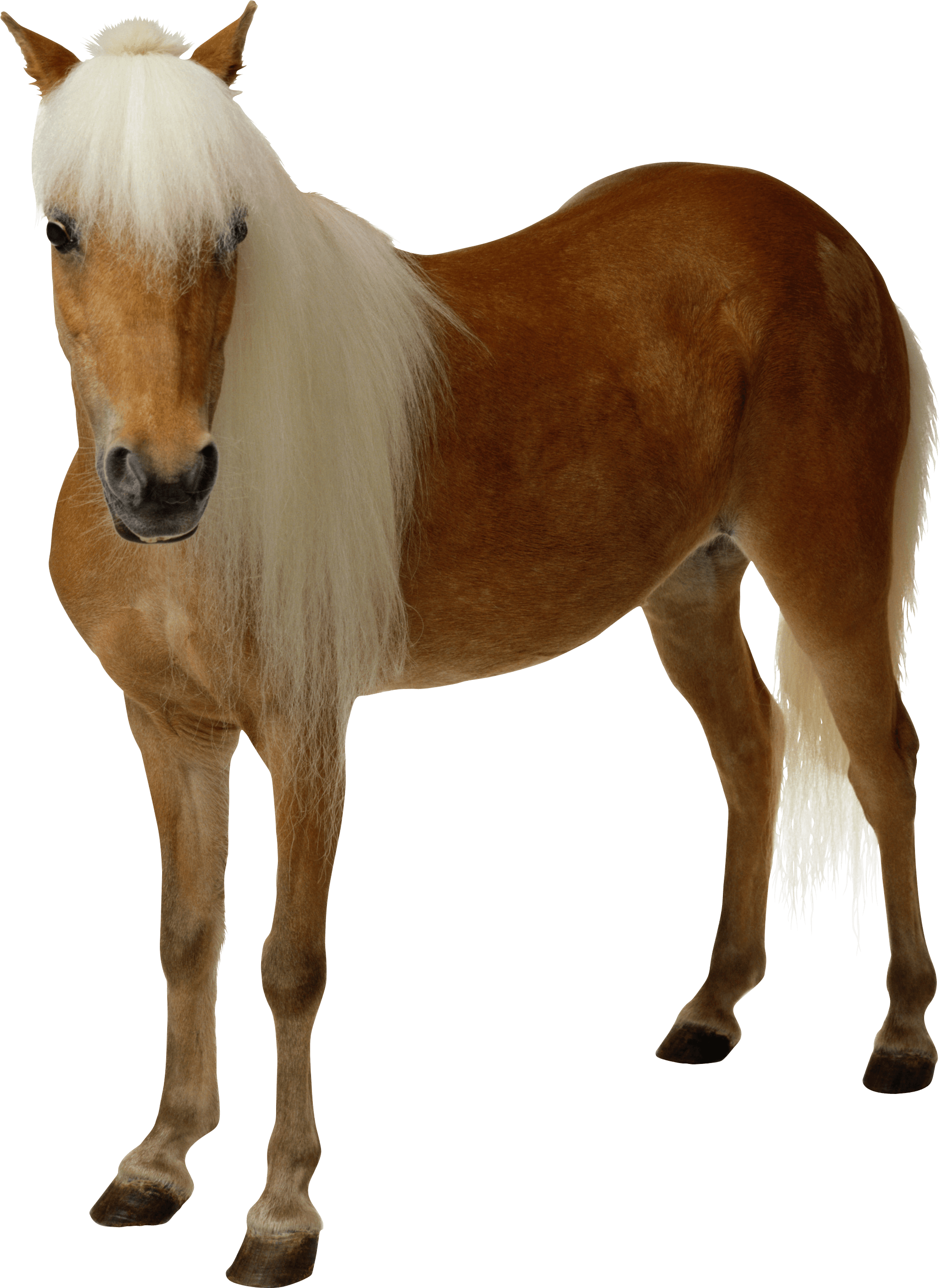 Brown horse with long hair