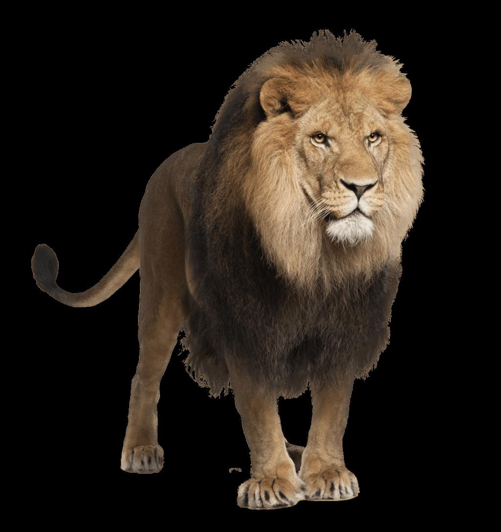 Lion walking PNG Image