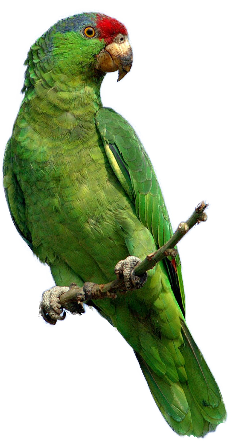 Green parrot PNG Image