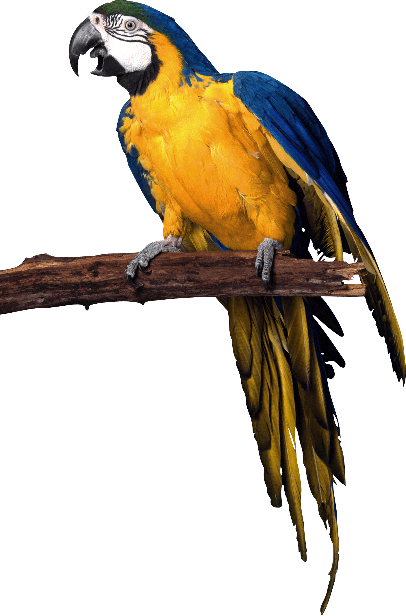 yellow blue pirate Parrot PNG Image