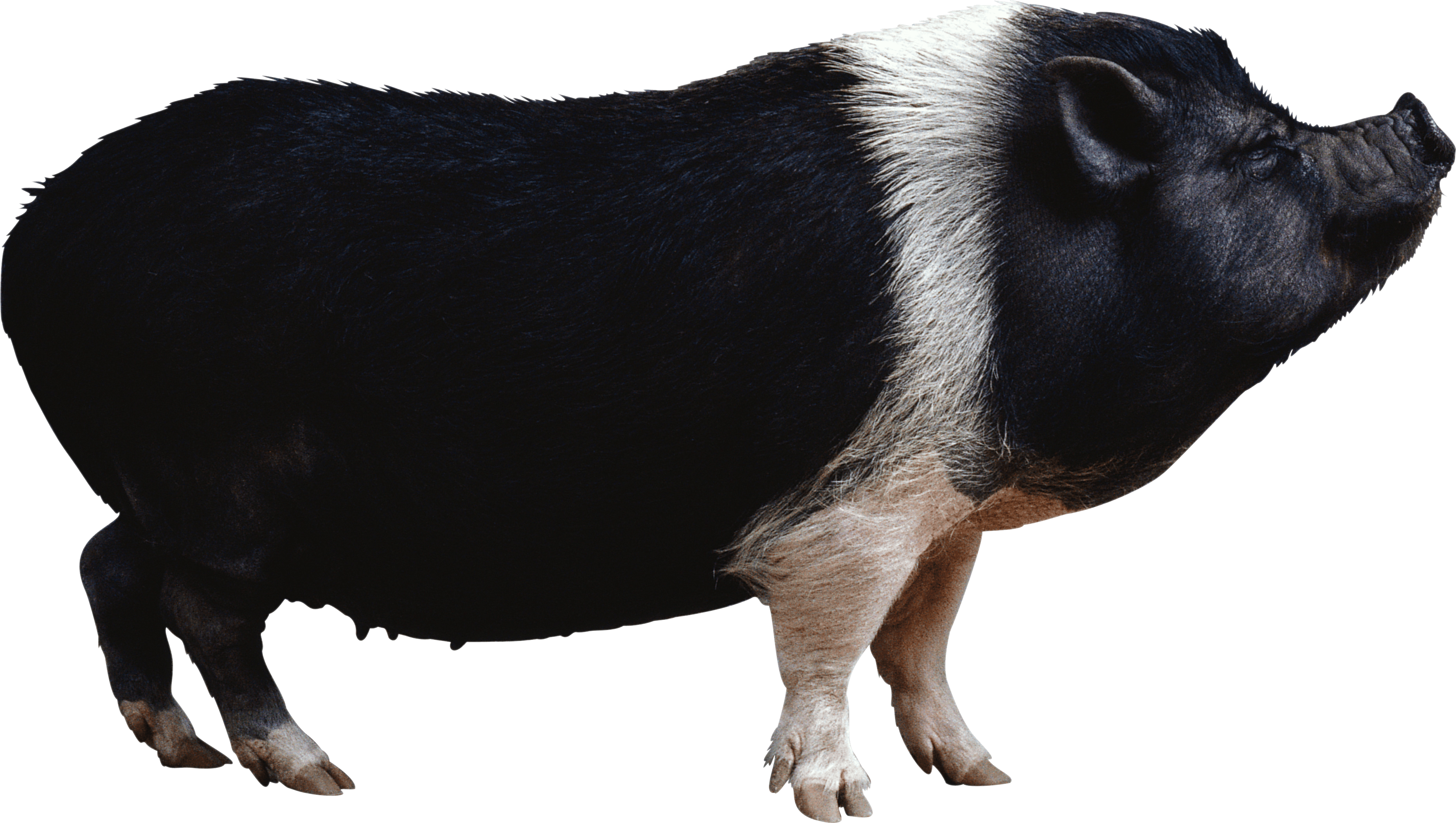 Black pig from side