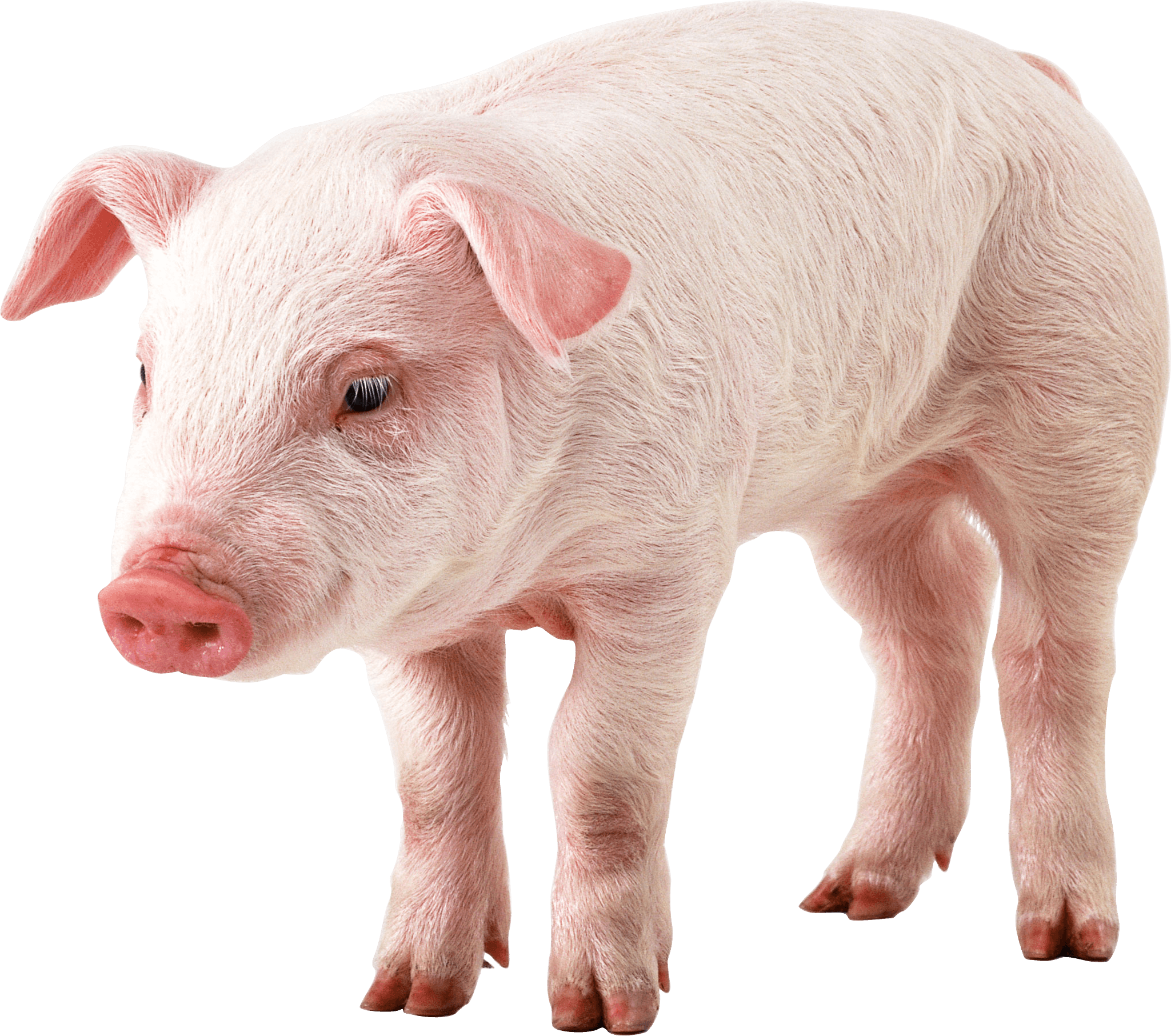 pig png image purepng free transparent cc0 png image cute pig clip art black and white cute pig clipart free