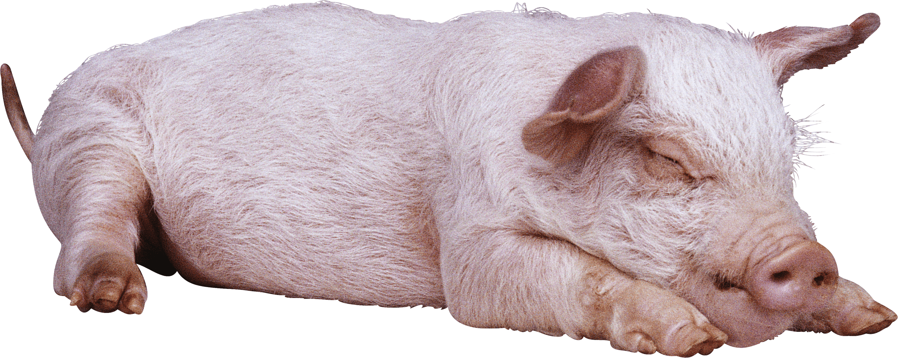 sleeping pig PNG Image