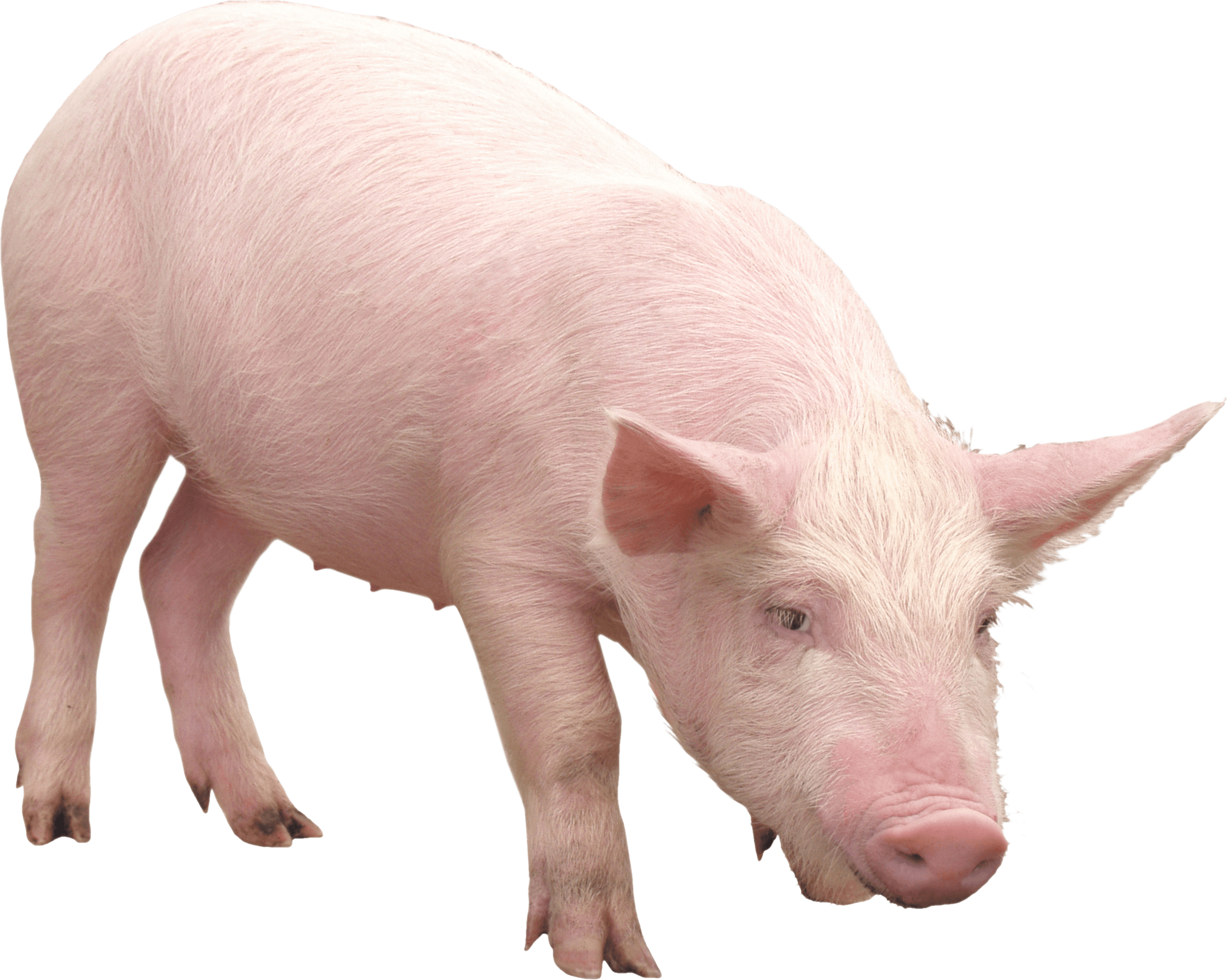 pink pig png image purepng free transparent cc0 png cute pig clip art free cute pig clipart black and white