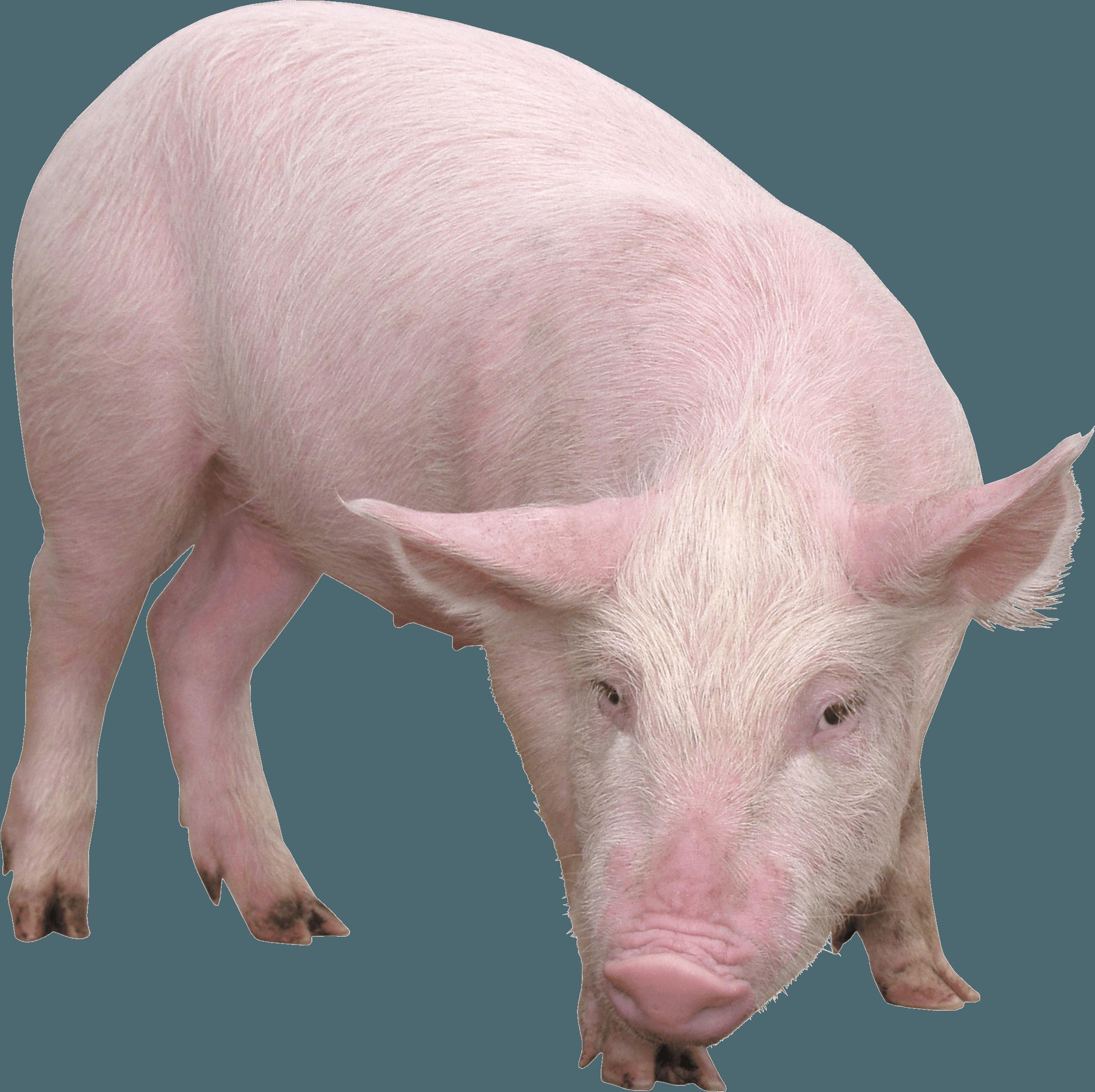Pig PNG Image