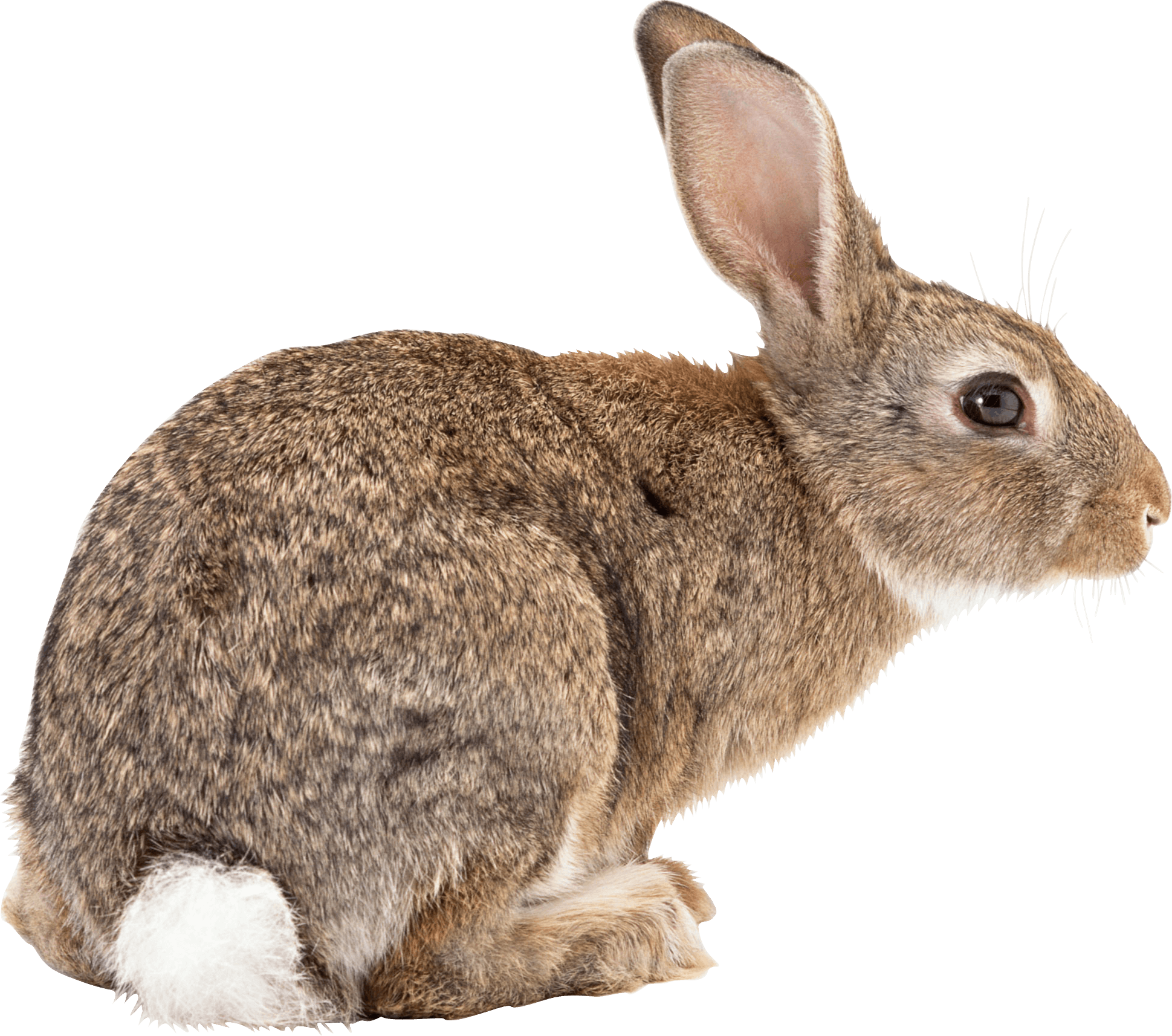 brown rabbit sideview