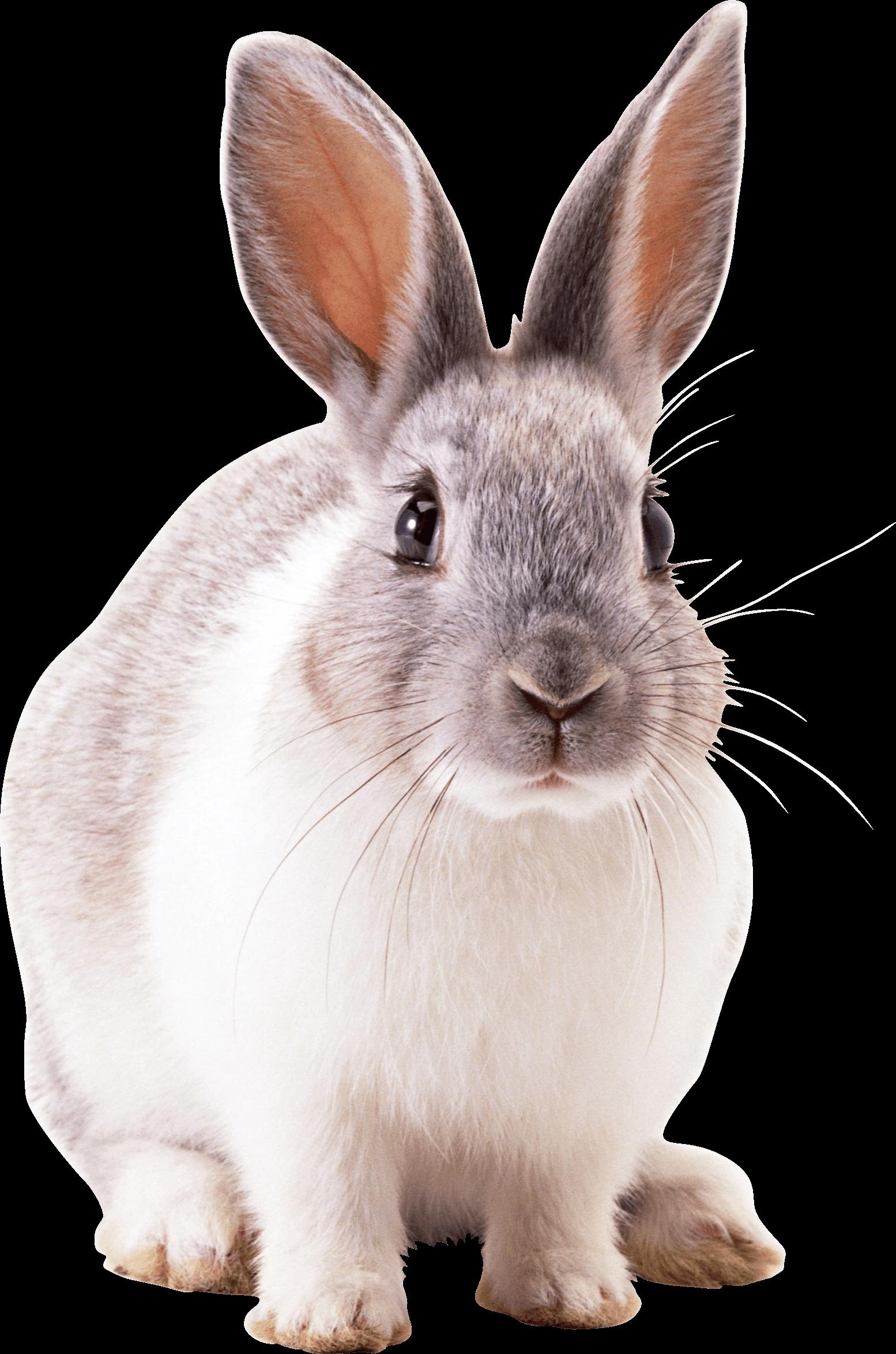 grey rabbit PNG Image