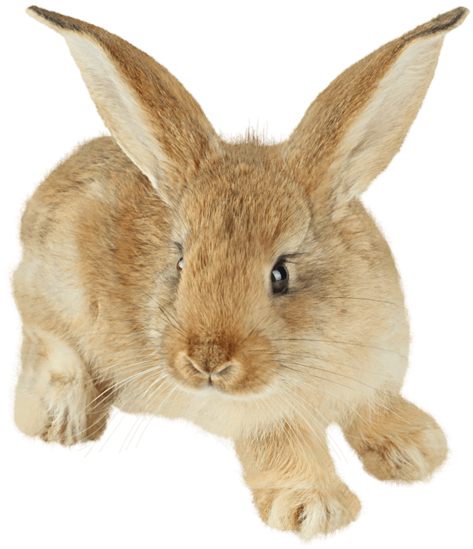 cute rabbit with enormous ears