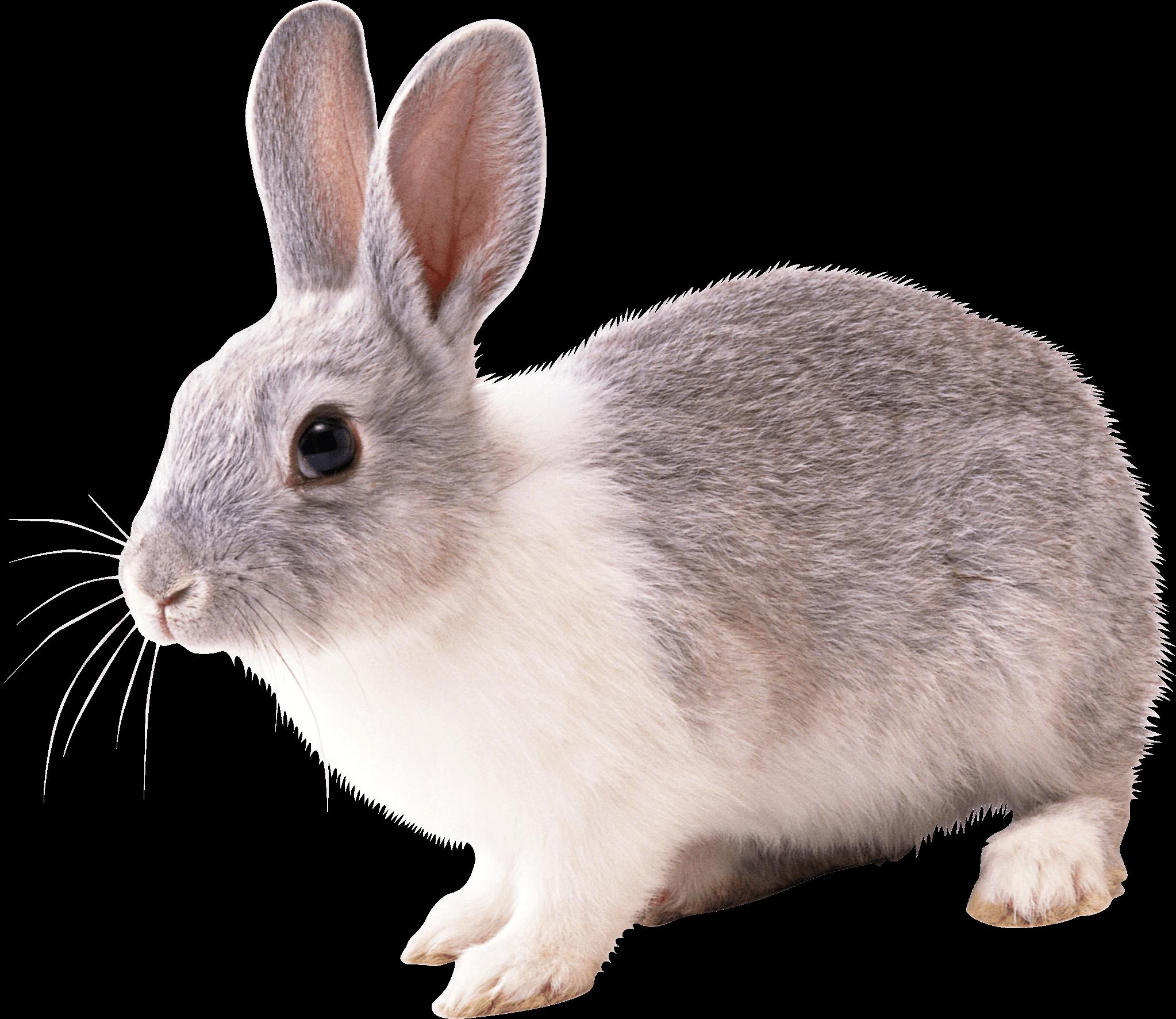 gray and white rabbit