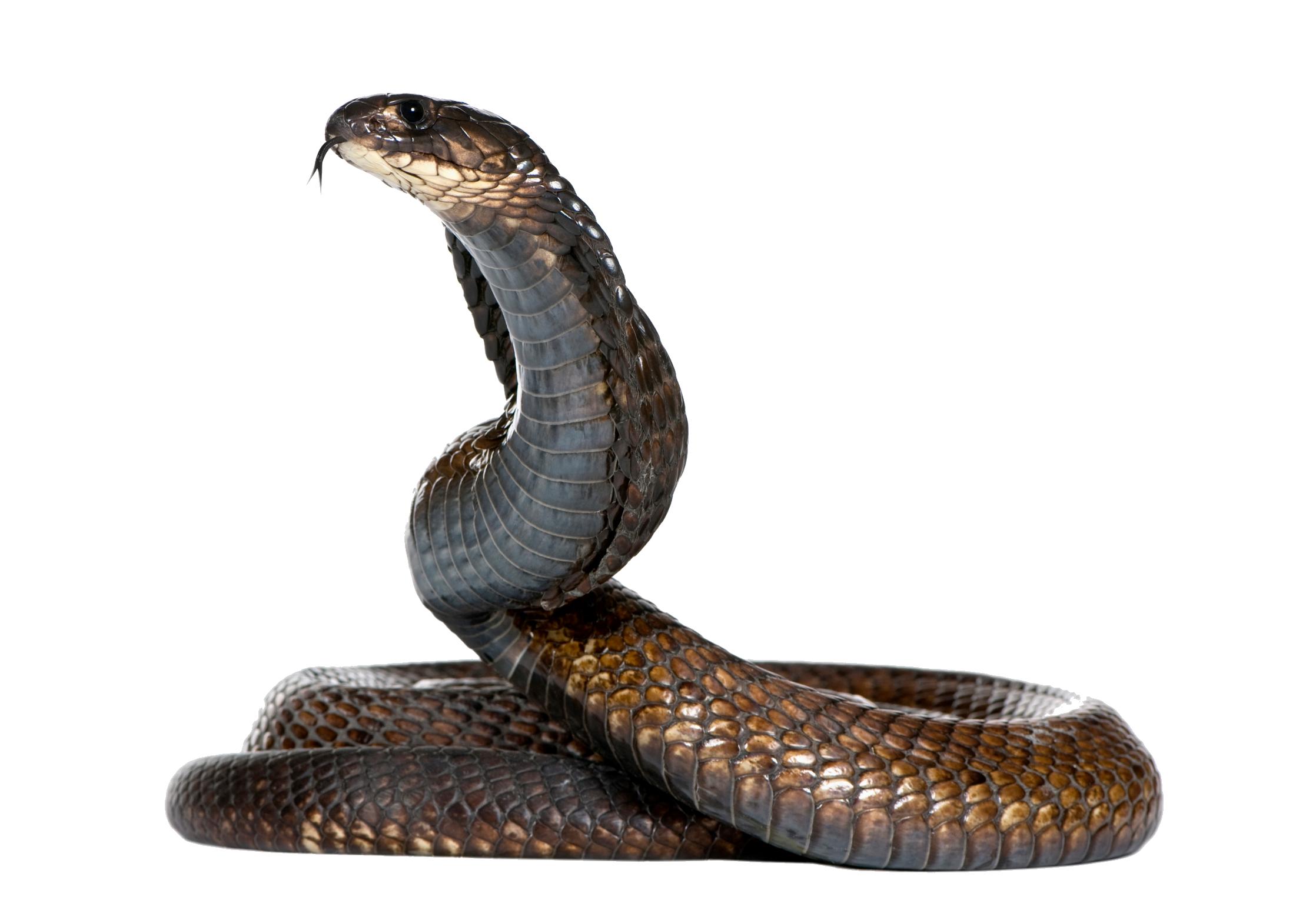 Snake PNG Image