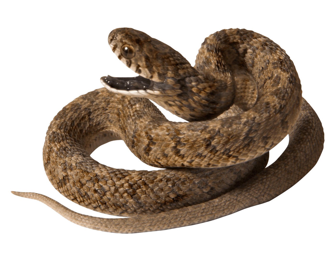 Snake with opened Mouth