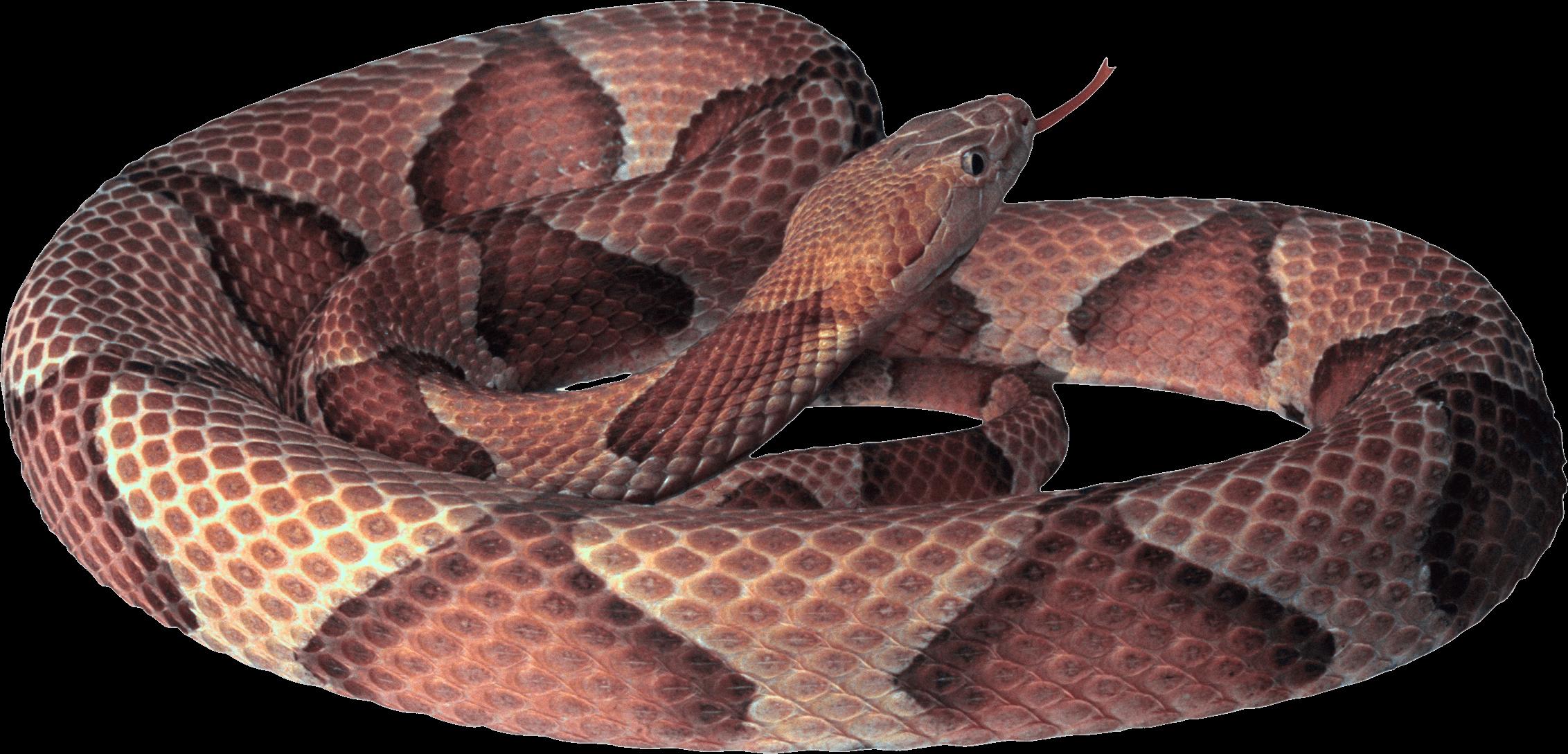 Curling Snake