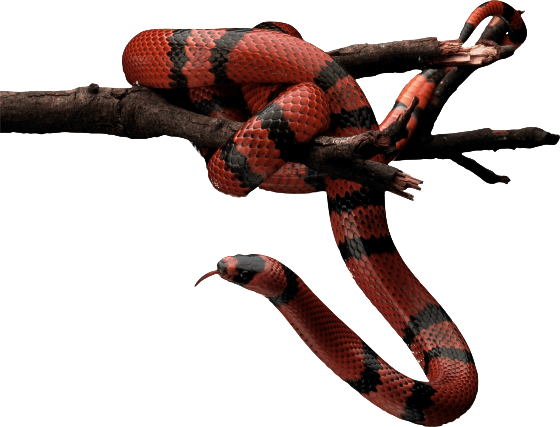Red and Black Snake on tree PNG Image