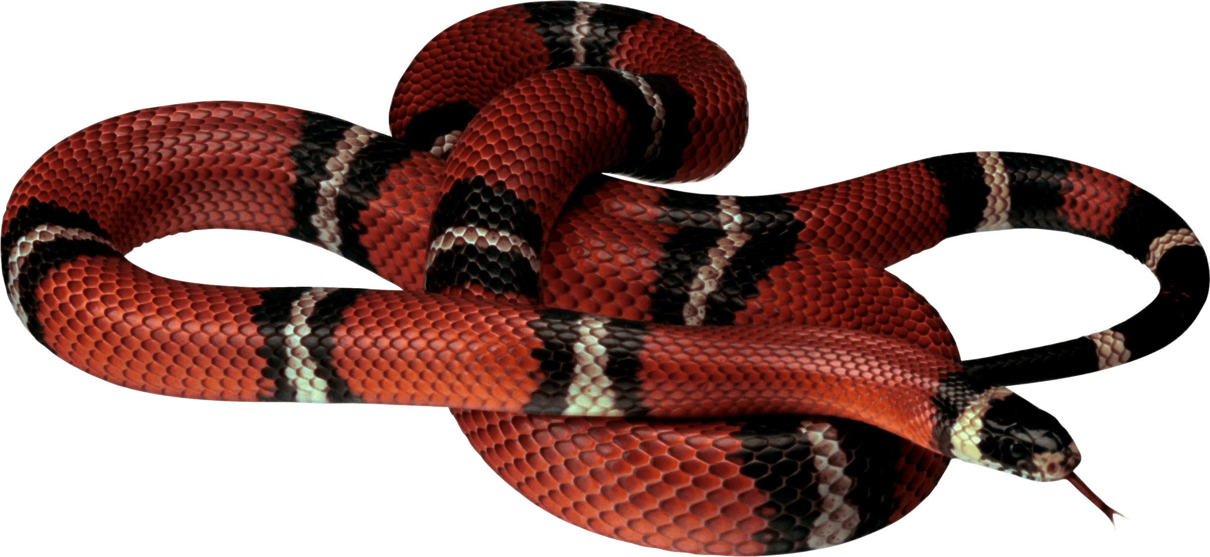 Red white black Snake PNG Image