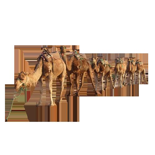 camel By kasirun Hasibuan PNG Image