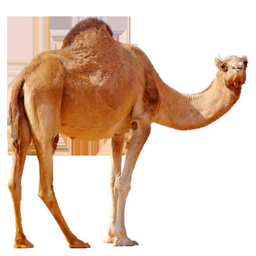 Camel  On Desert PNG Image