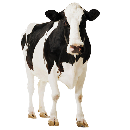 Cow PNG Image