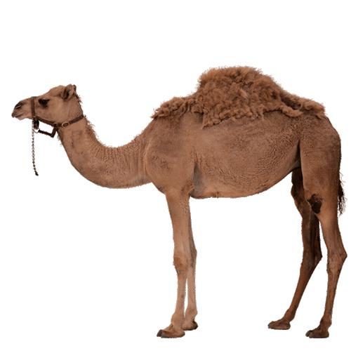 Desert Camel