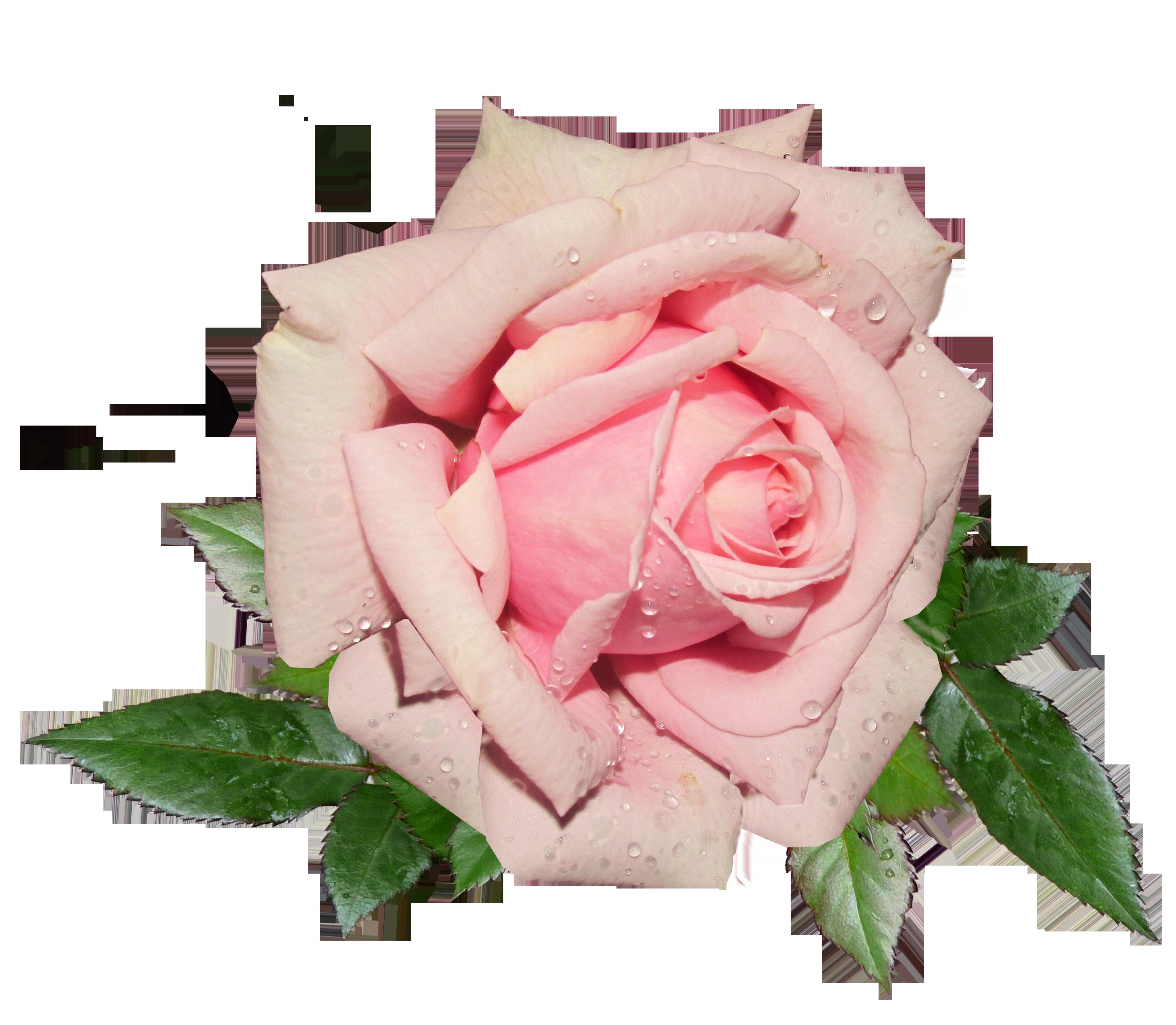 Fresh Pink Rose PNG Image