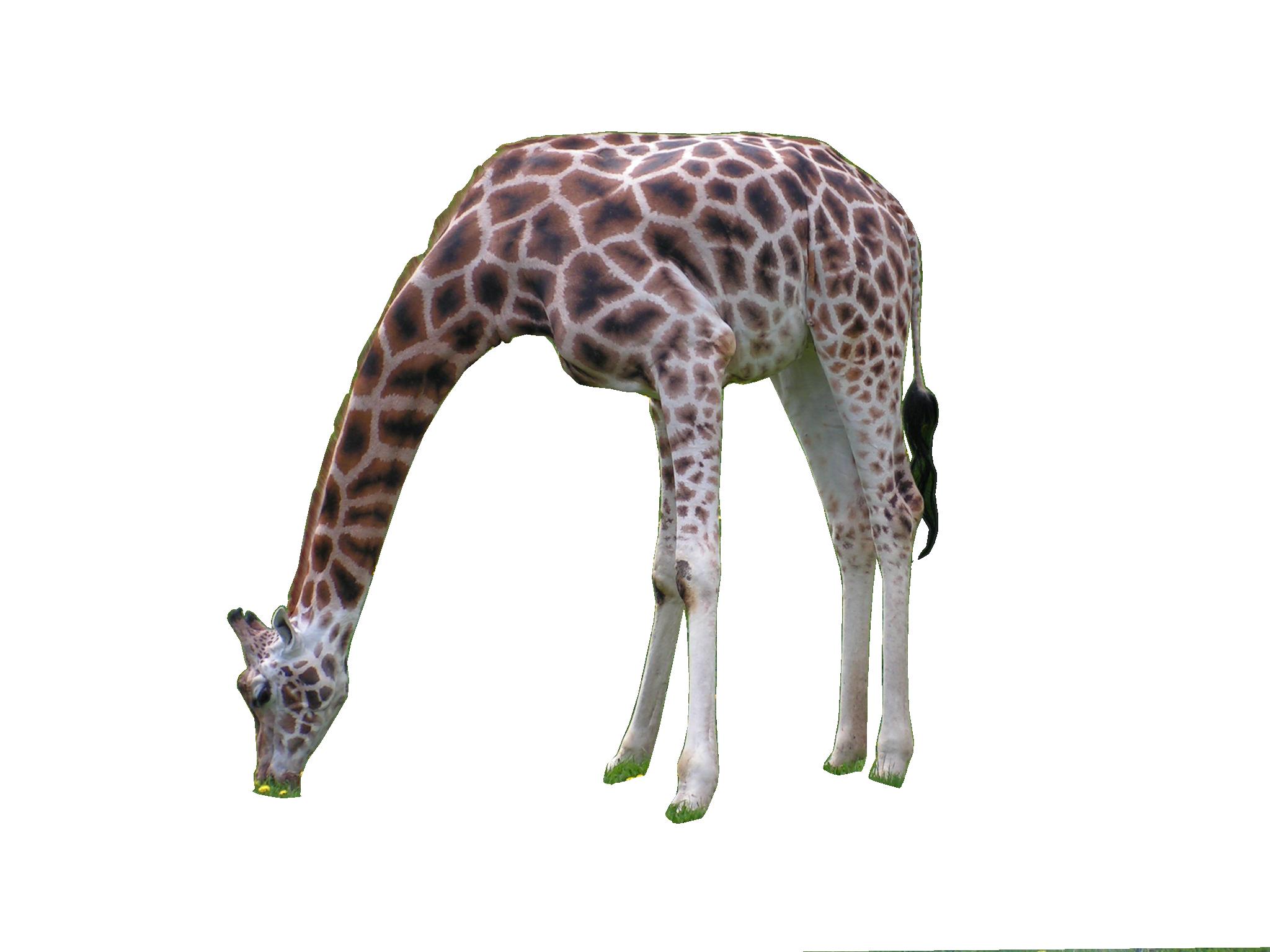 Giraffe PNG Image