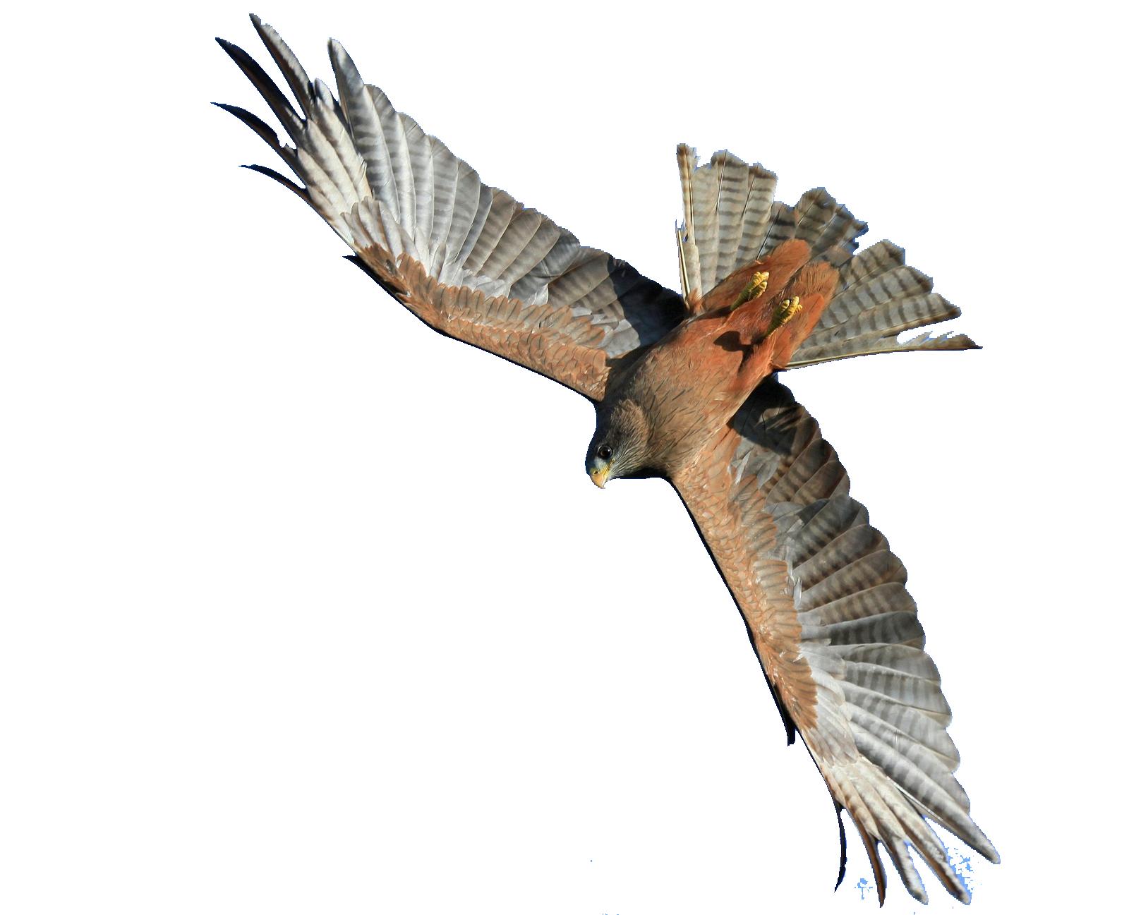Flying Hawk PNG Image